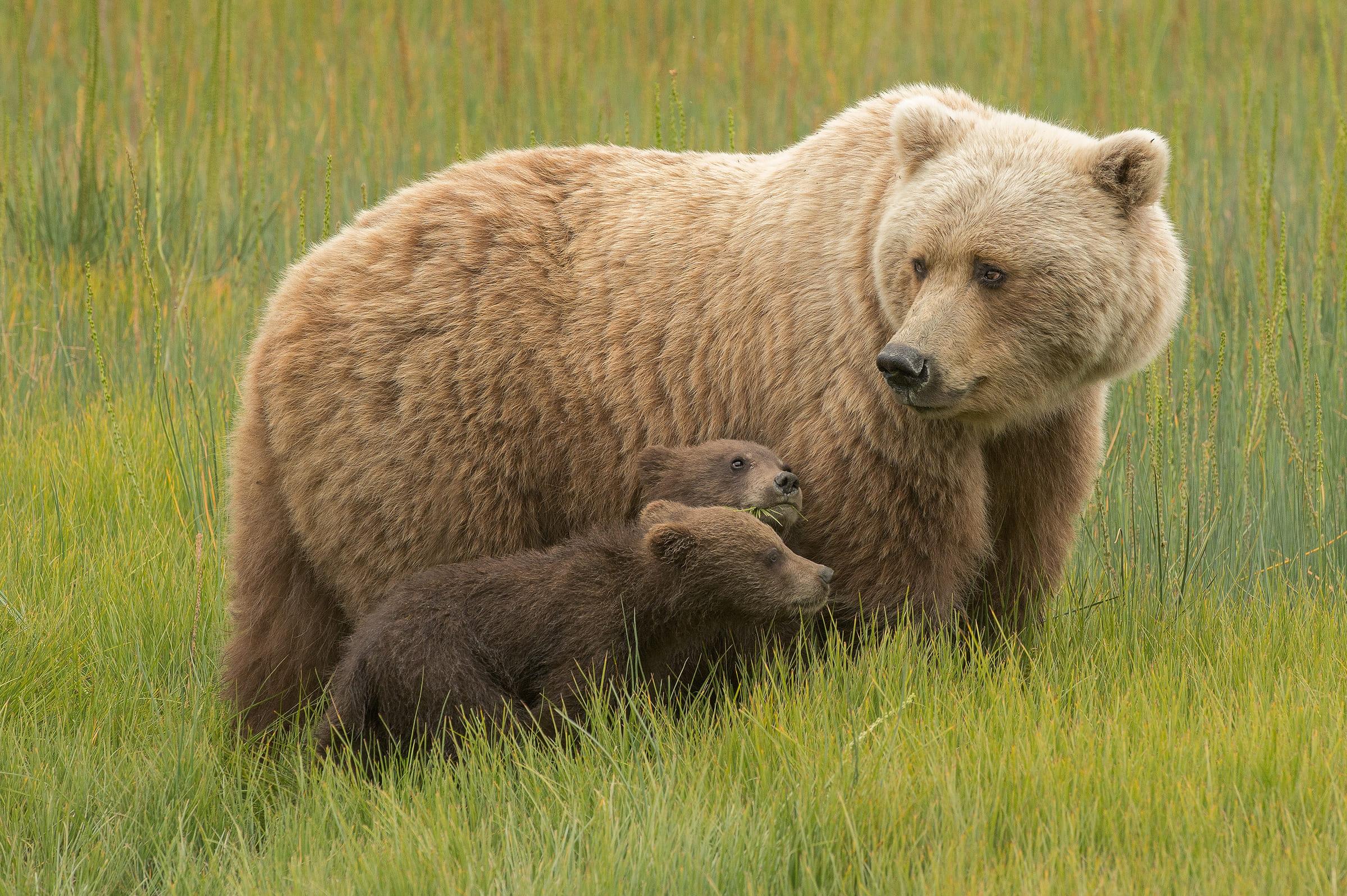 Une oursonne et son petit en Alaska