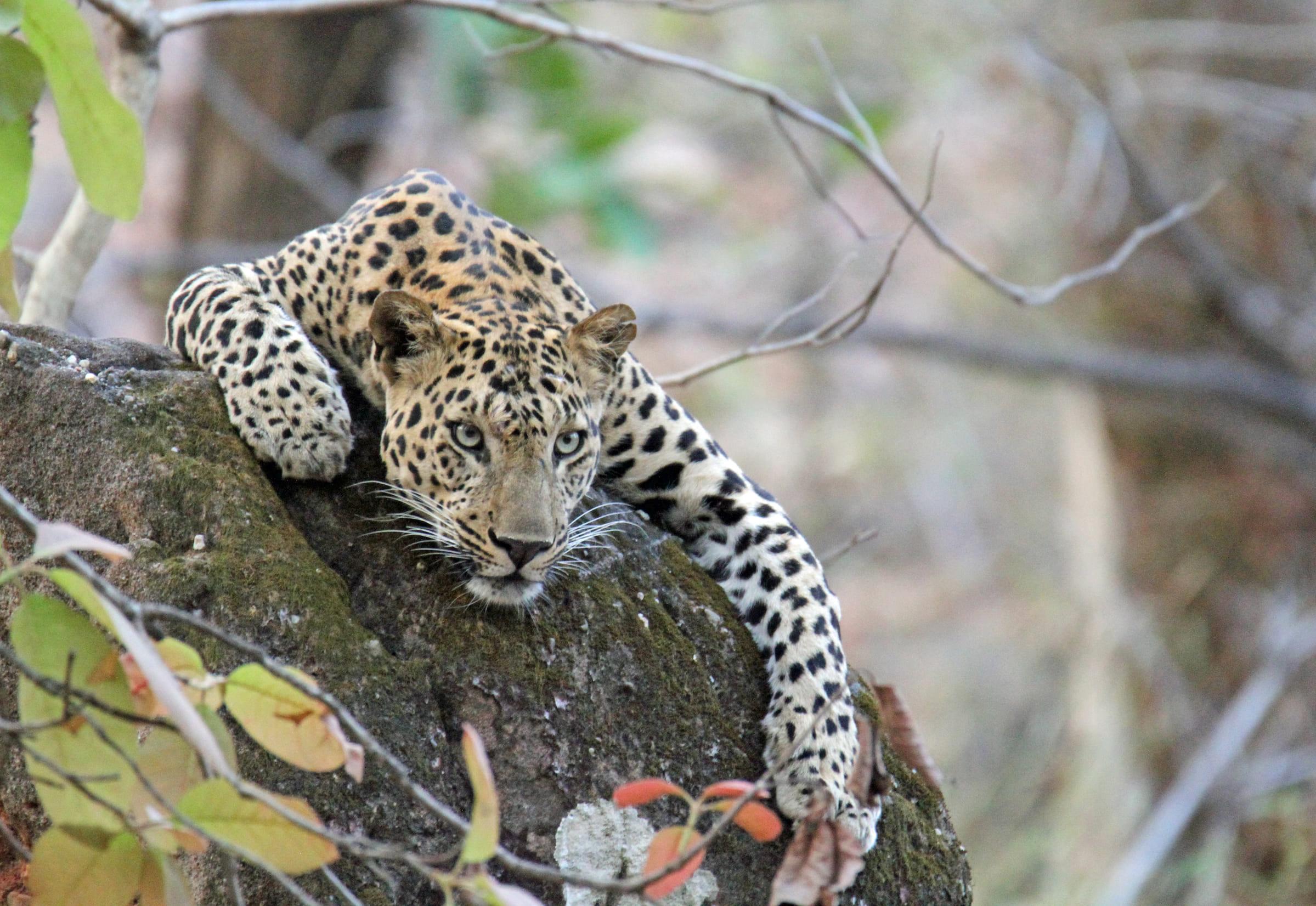 Leopard auf einem Stein