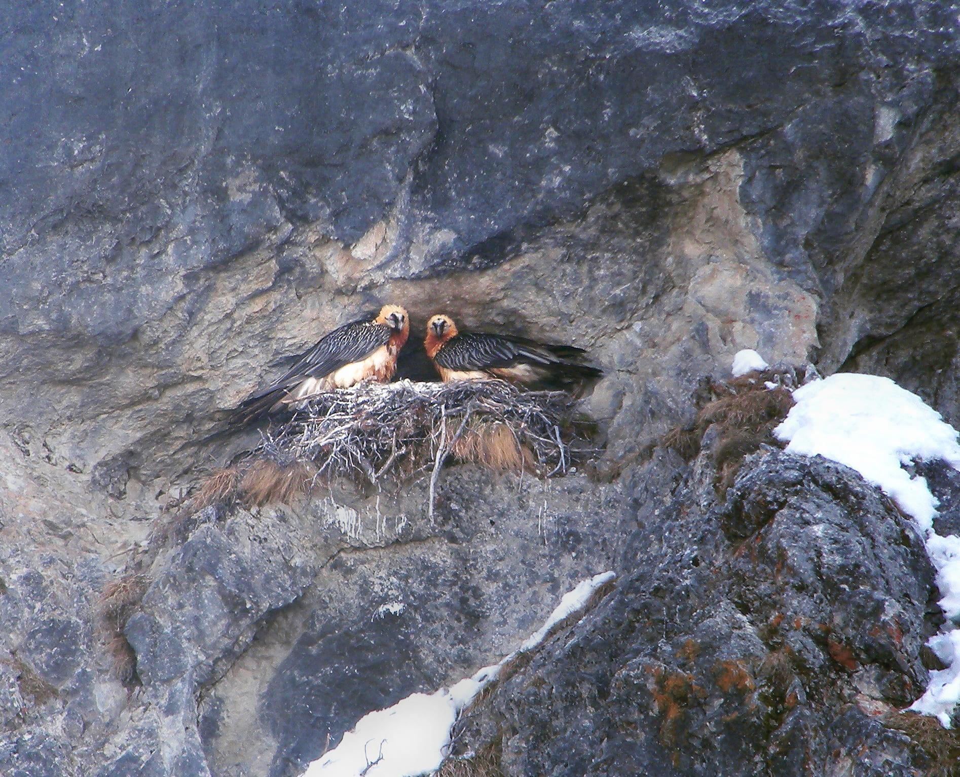 Zwei Bartgeier im Nest