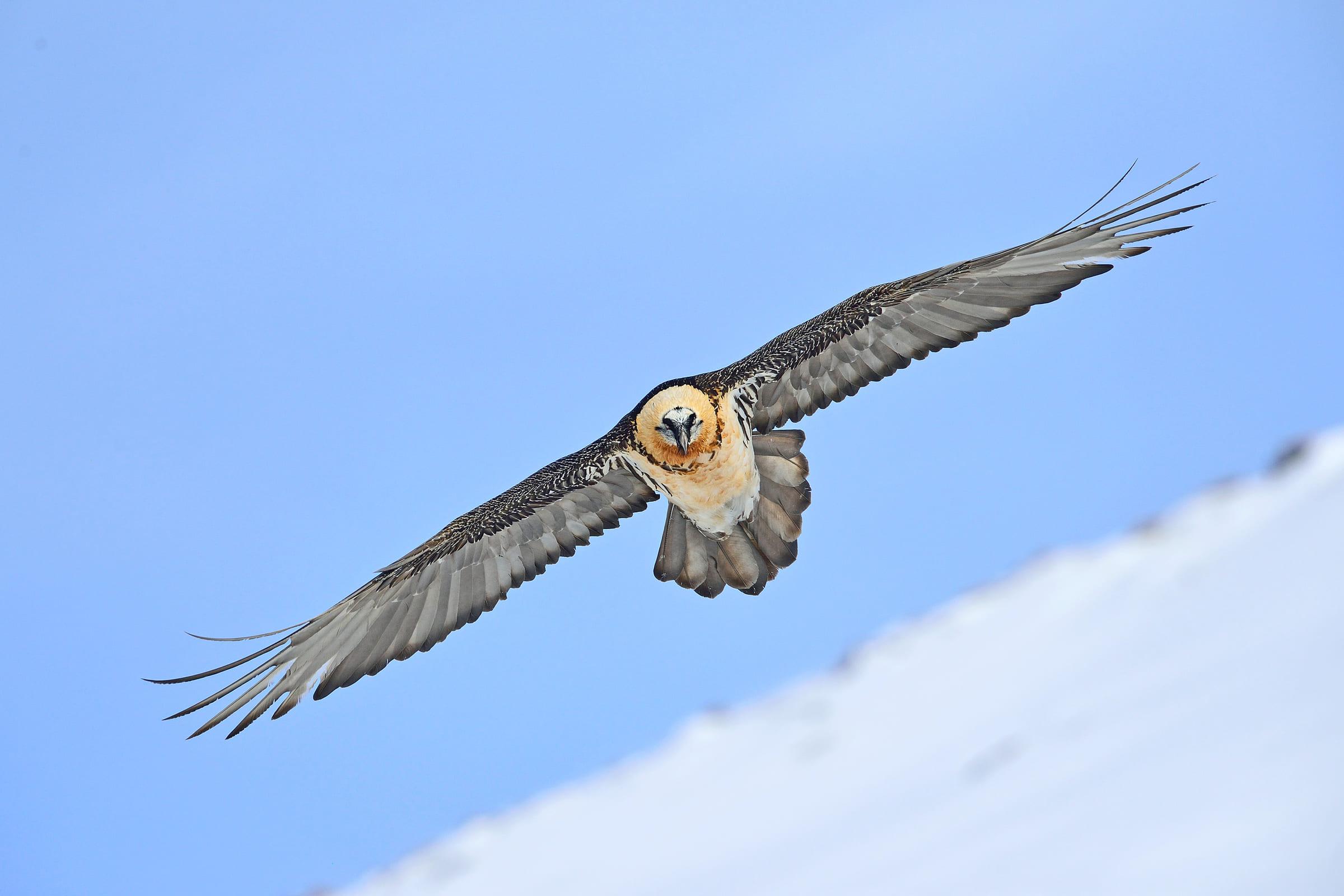 Fliegender Bartgeier