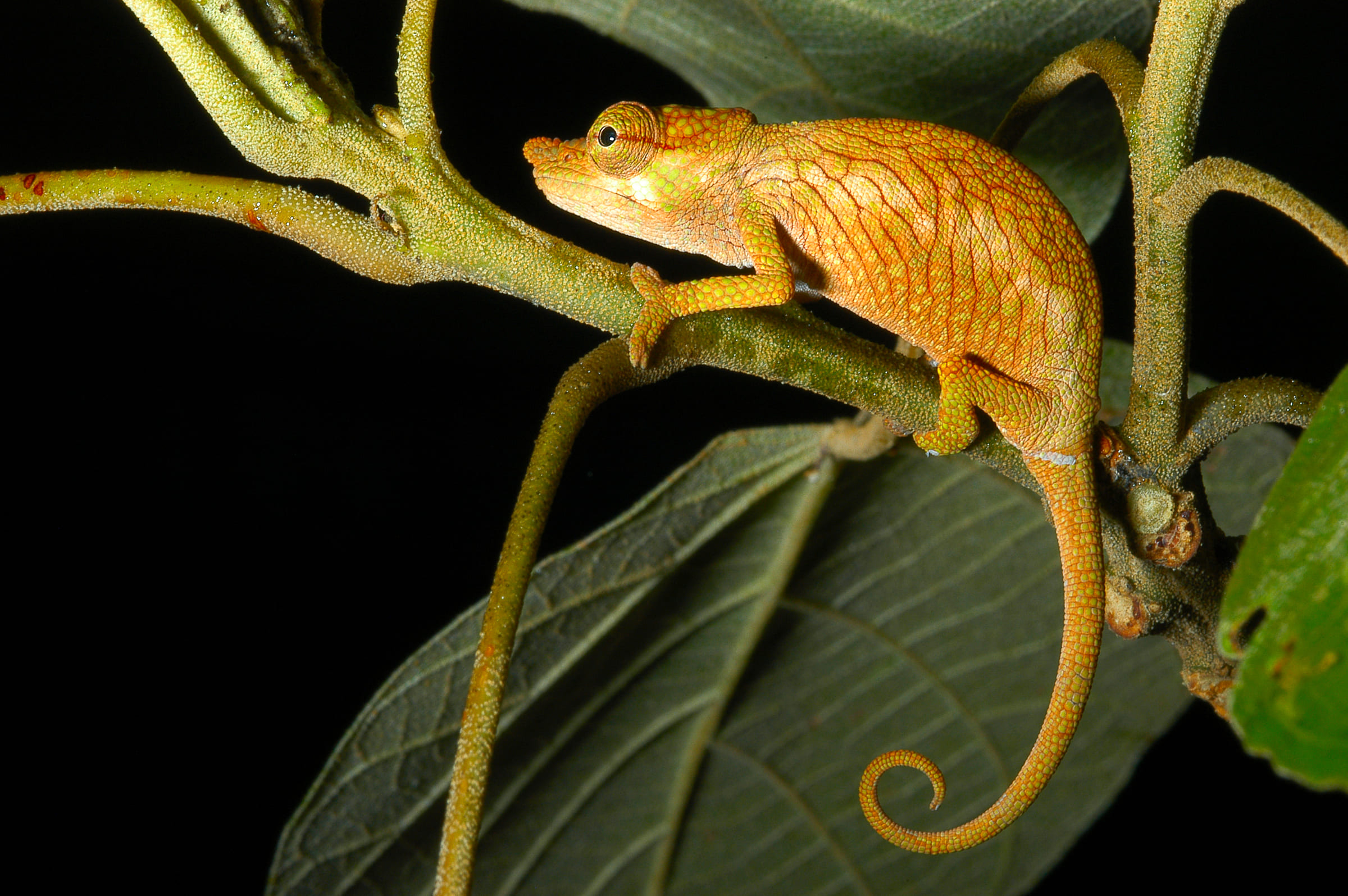 Un piccolo camaleonte giallo (Calumma nasutum)