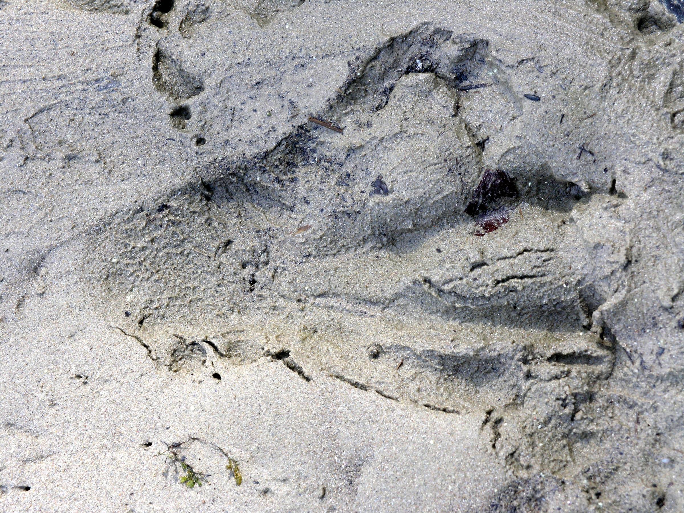 Biberpfotenabdruck im Sand