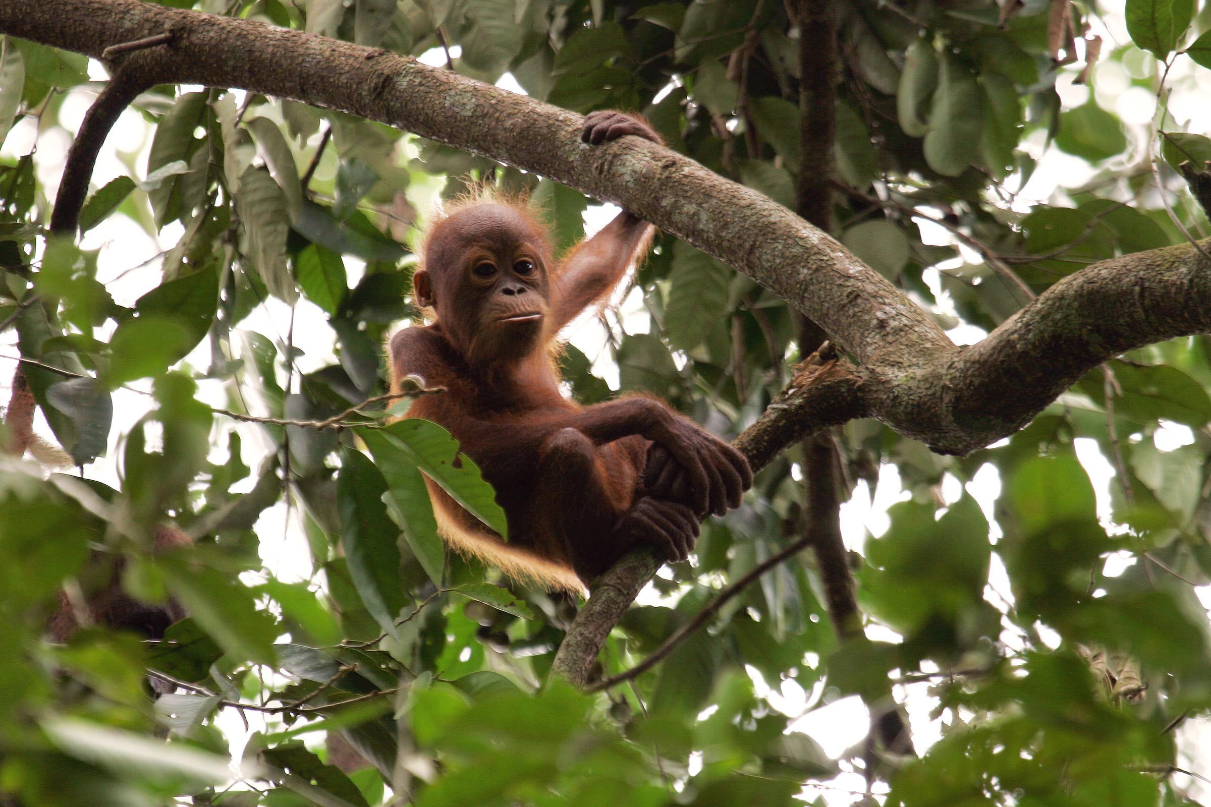 Giovane orango sull'albero