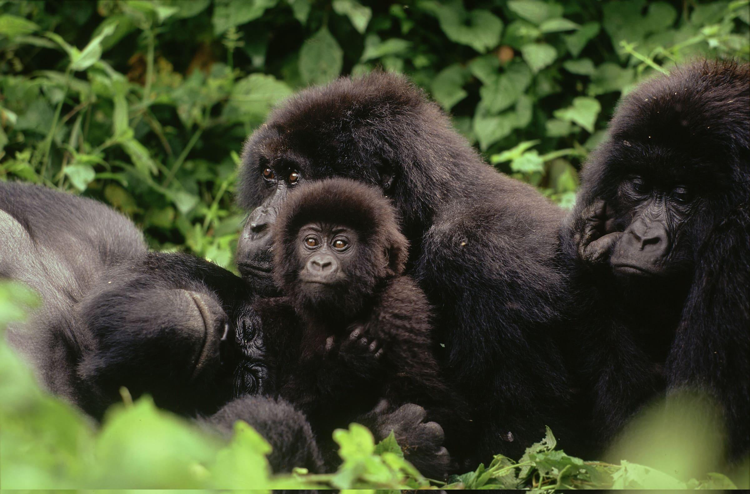 Un groupe de gorilles