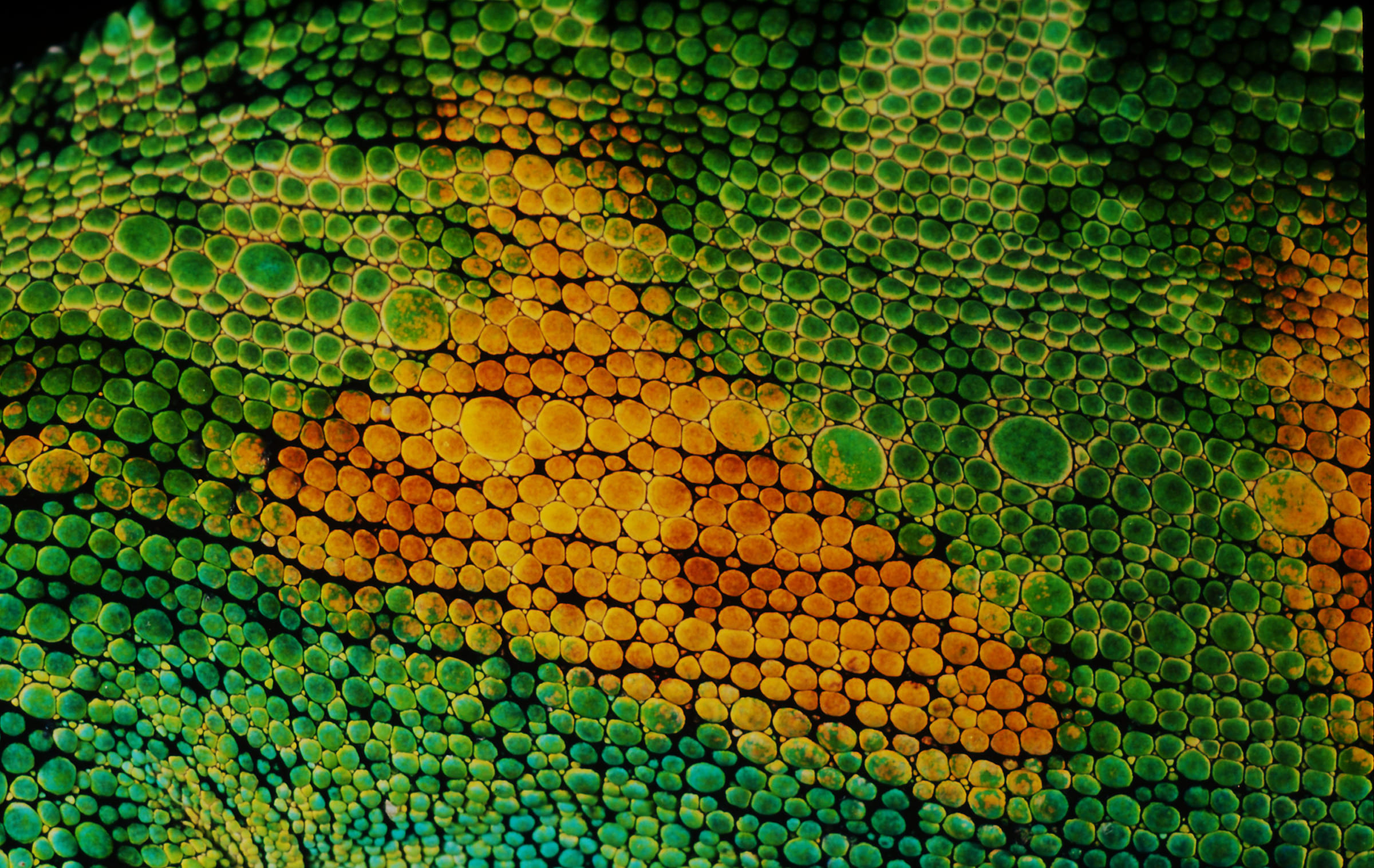 Les écailles d'un caméléon