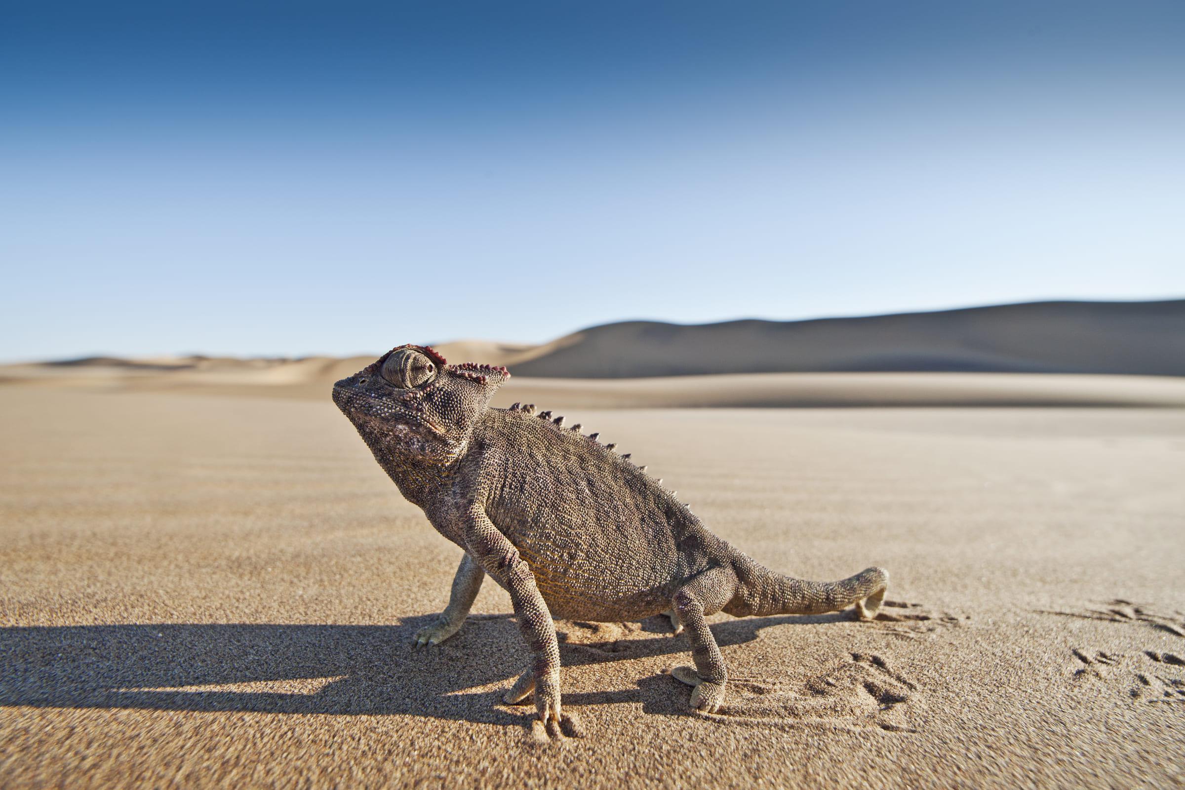 Wüstenchamäleon im Sand