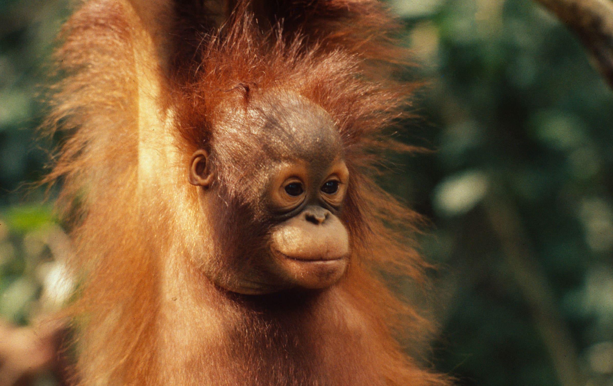 Giovane orango