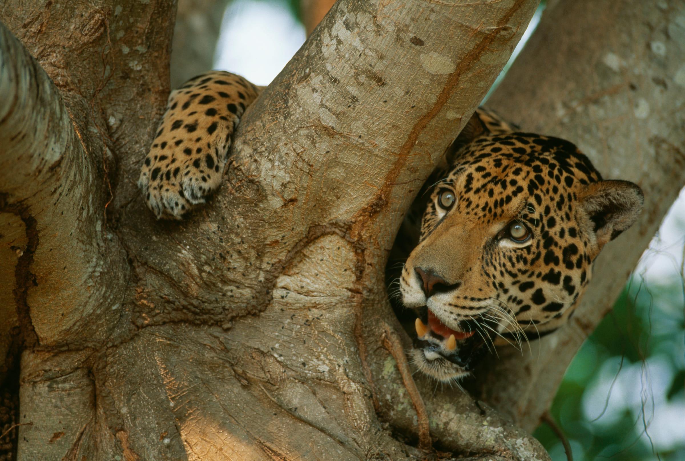 Un jaguar dans un arbre