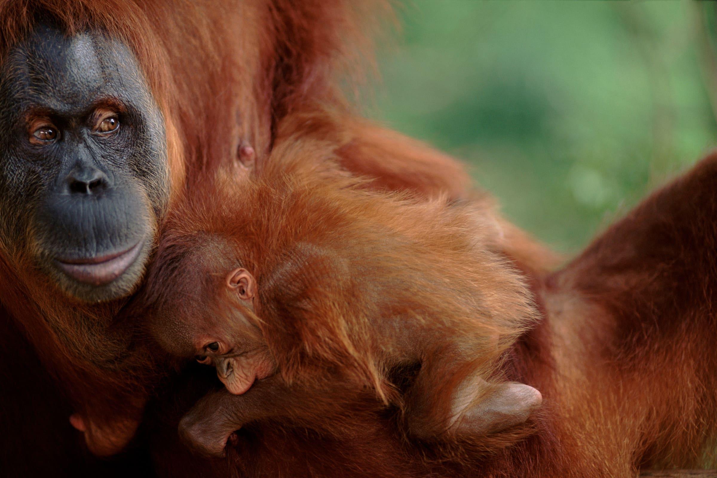 Orango con il cucciolo