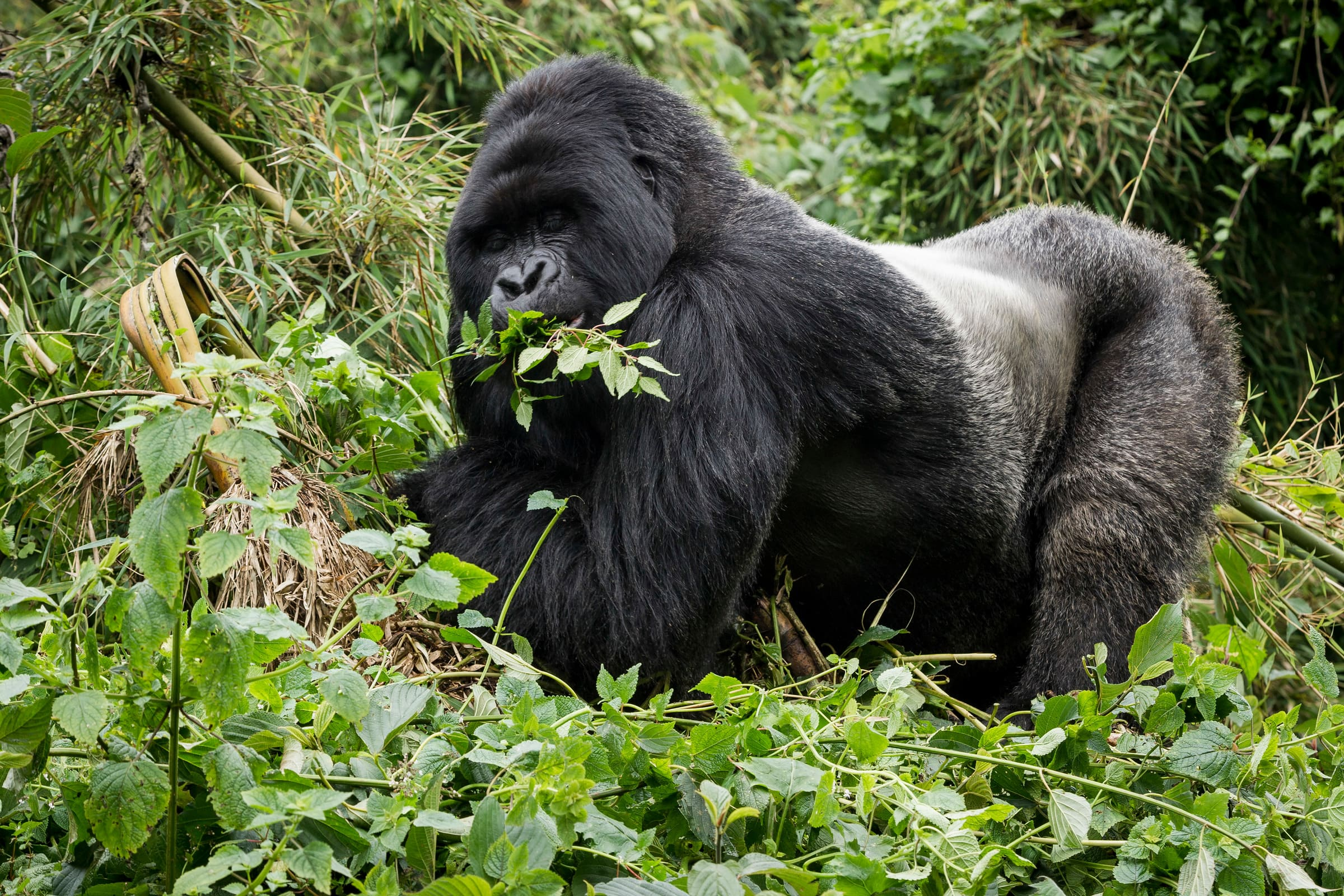 Gorilla di montagna in Ruanda