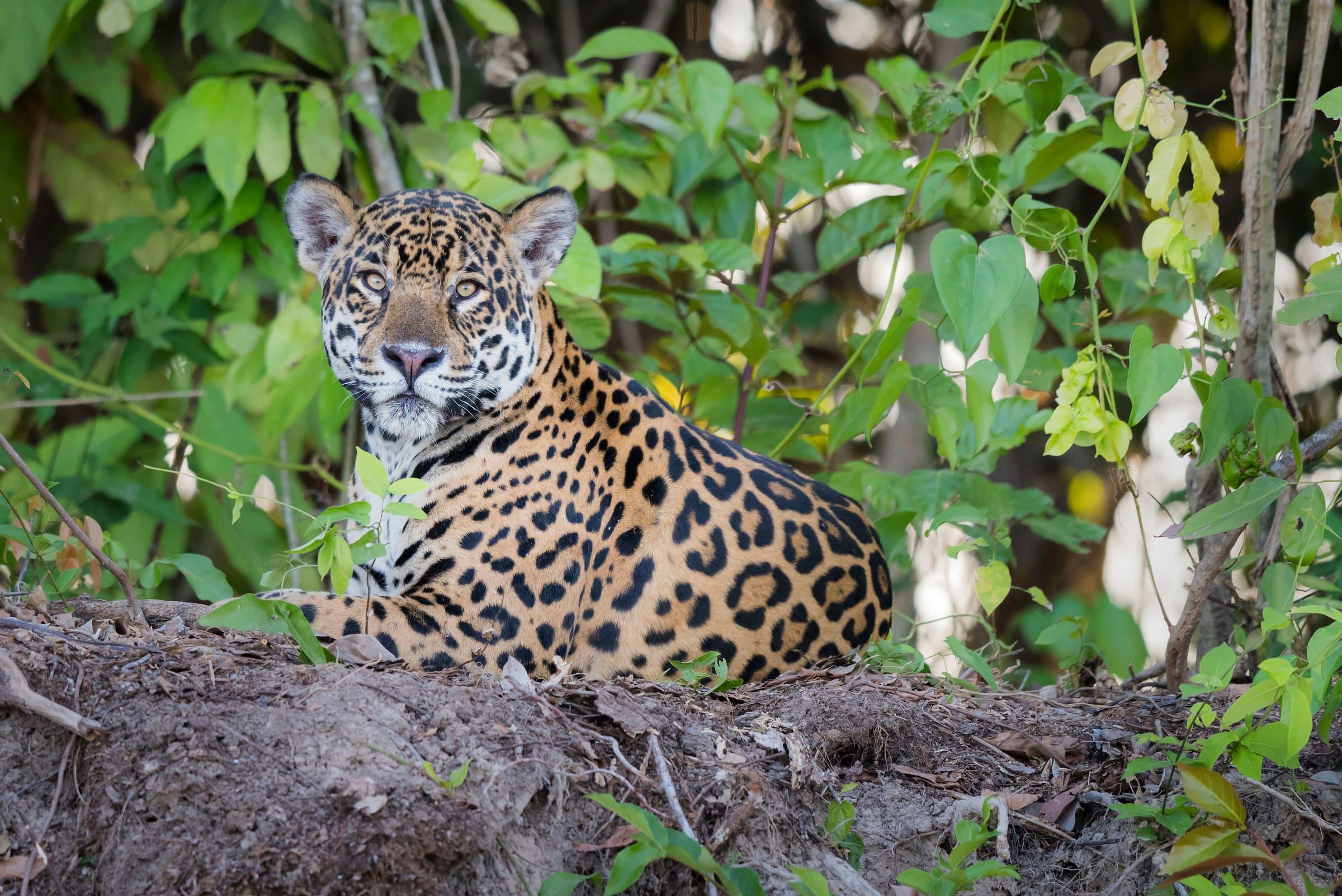 Un jaguar couché