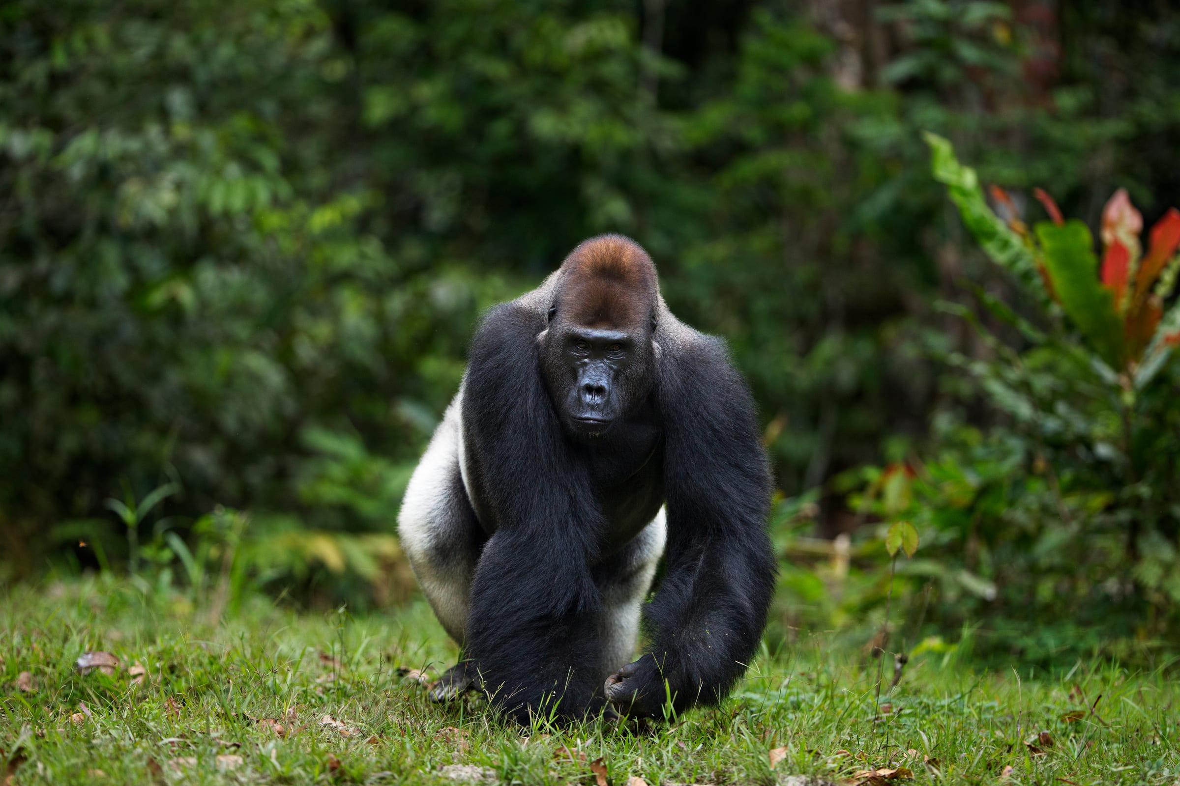 Gorille des plaines occidentale