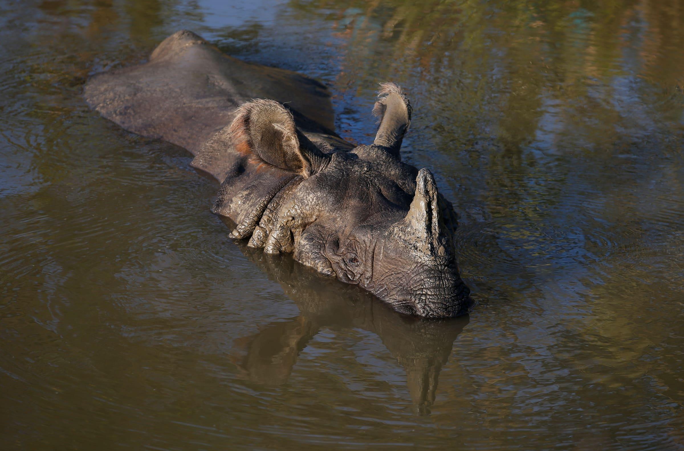 Nashorn im Wasser