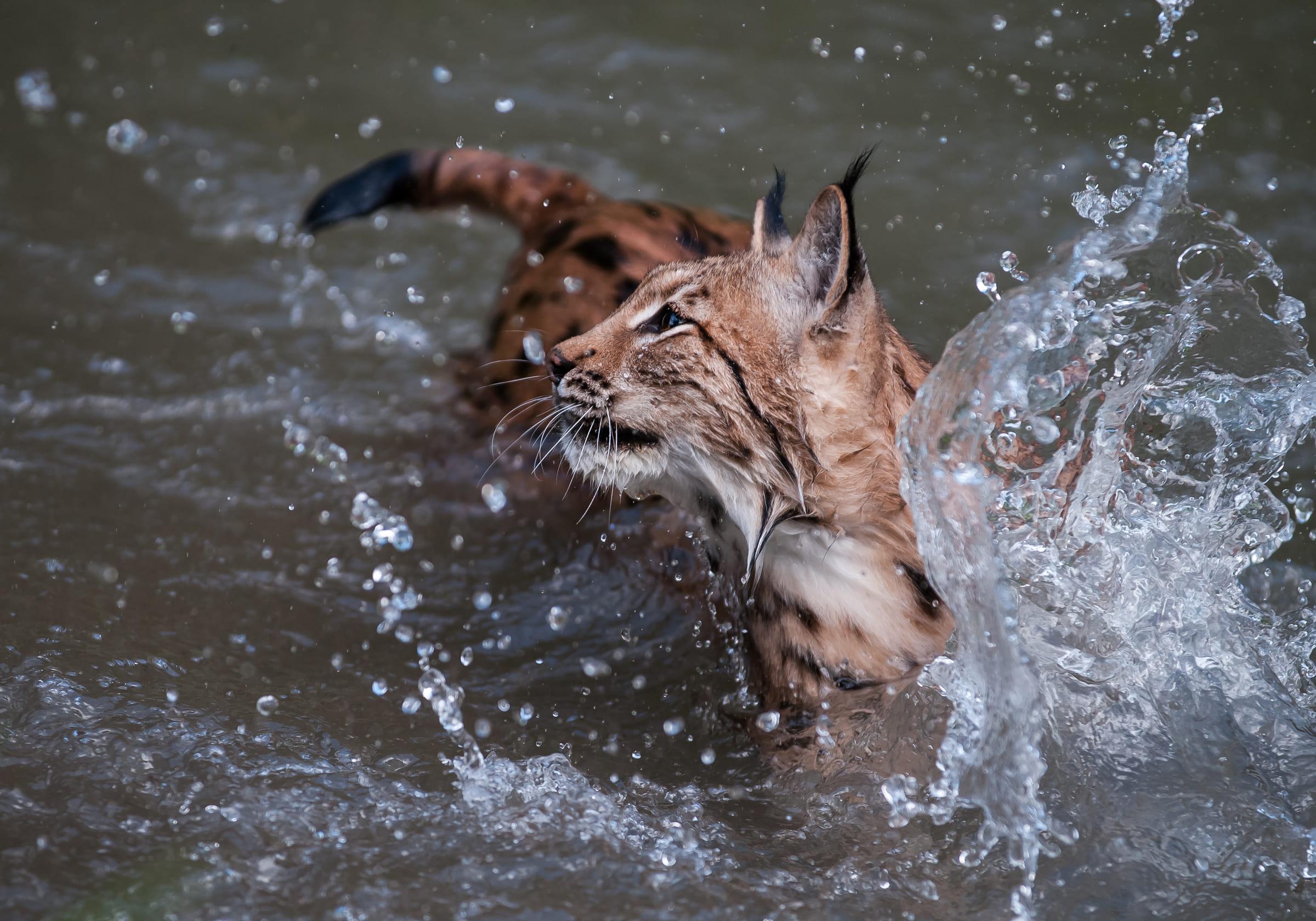 Eurasischer Luchs im Wasser