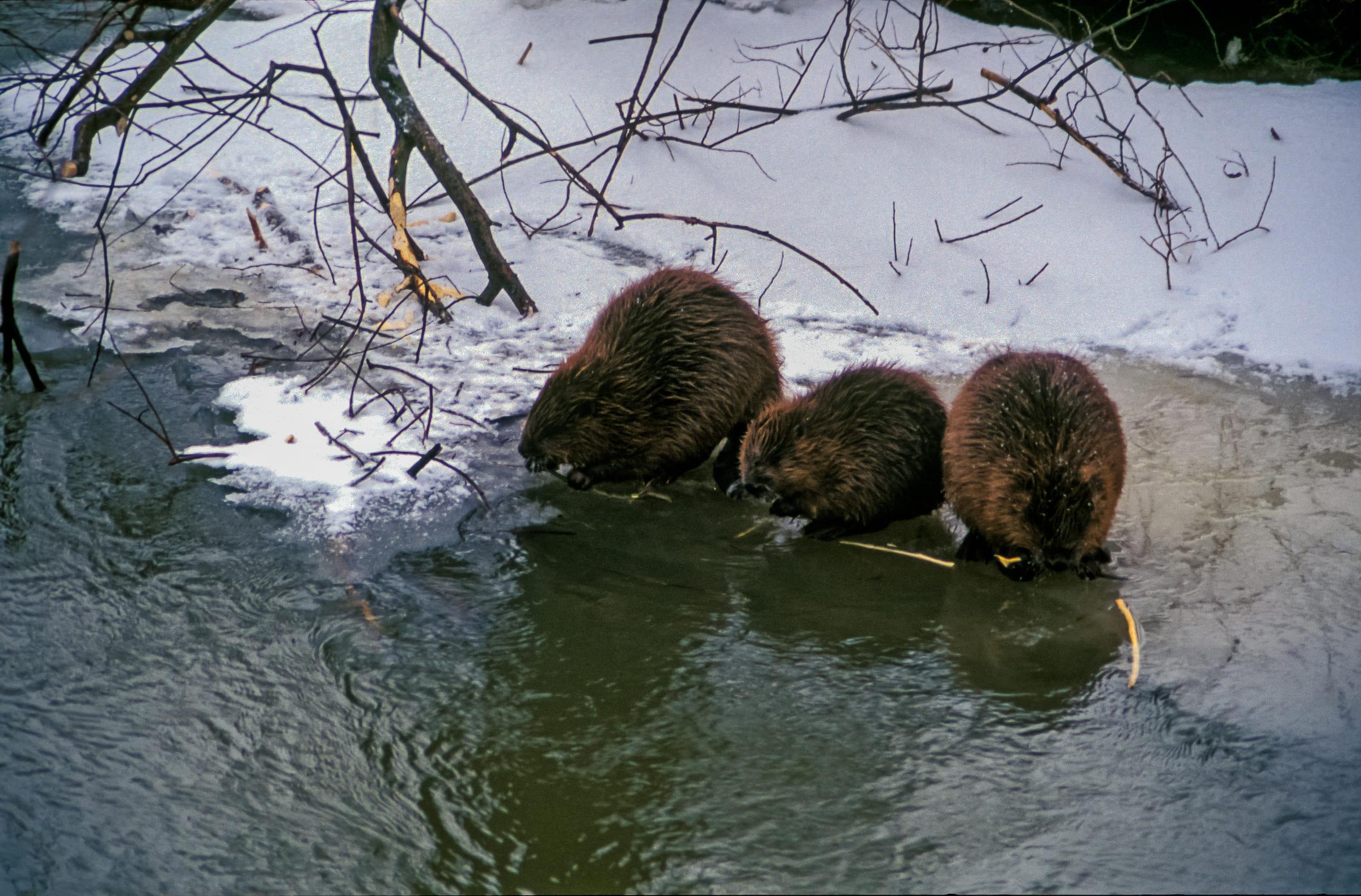 Drei Biber am Flussufer