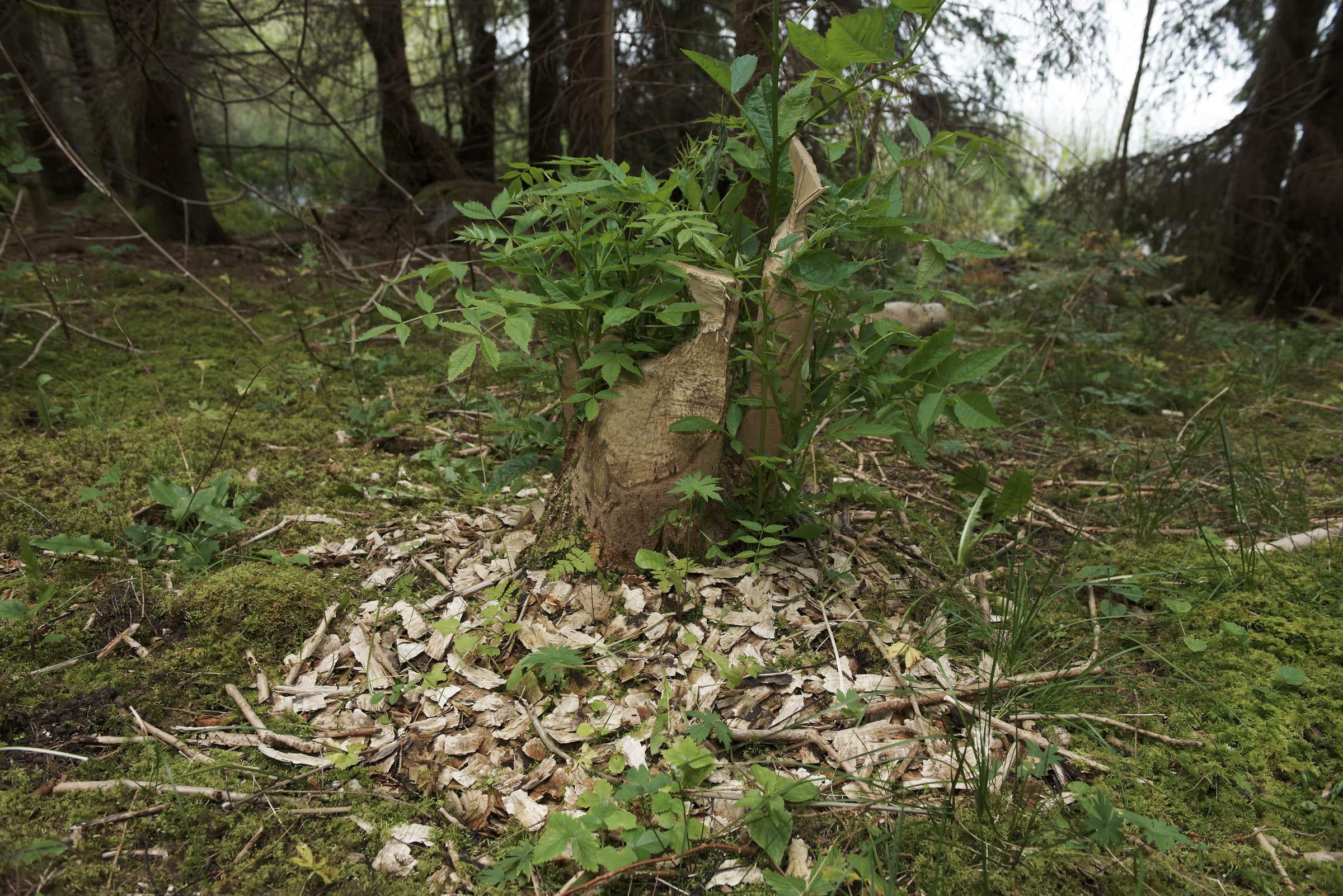 Von Bibern gefällter Baum