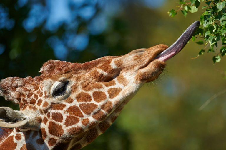 Eine Giraffe pflückt Blätter vom Baum