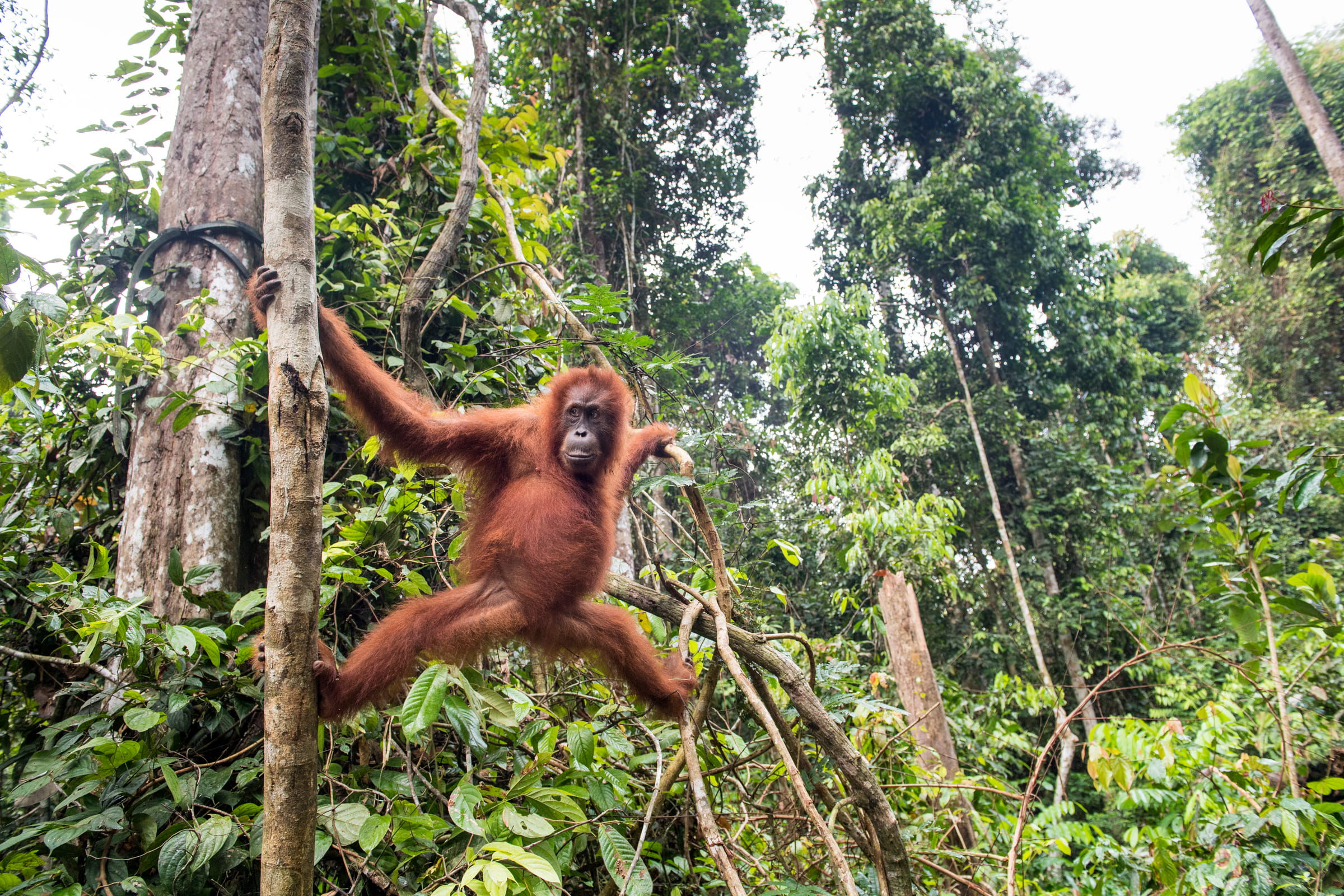Orango aggrappato tra due rami.