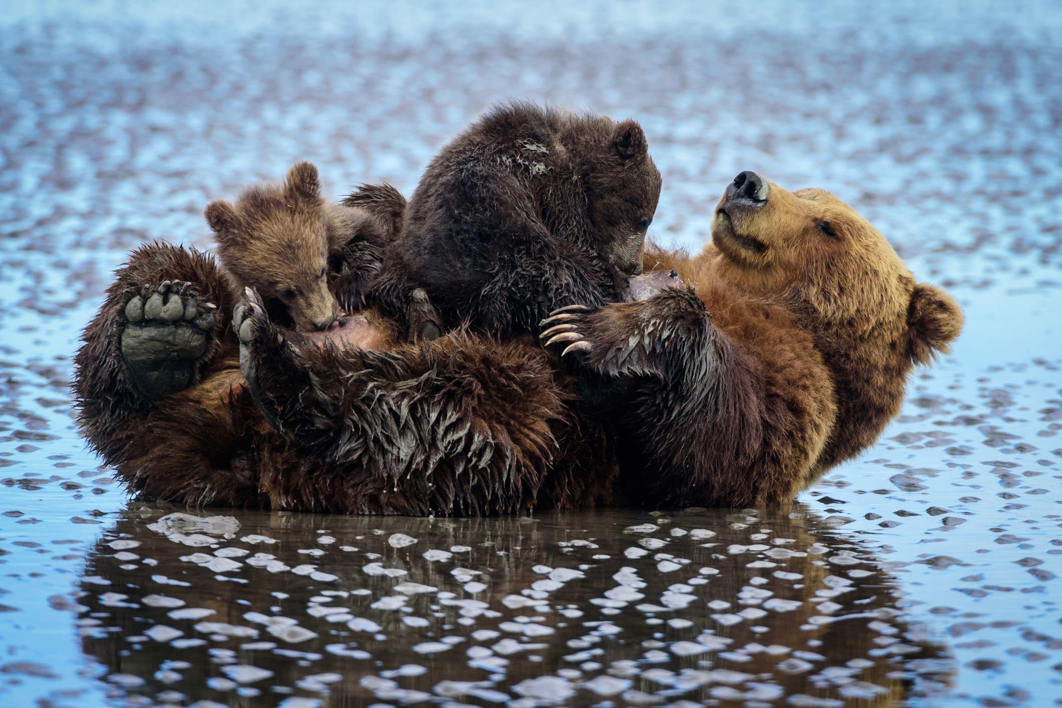 Maman ours et ses petits en Alaska