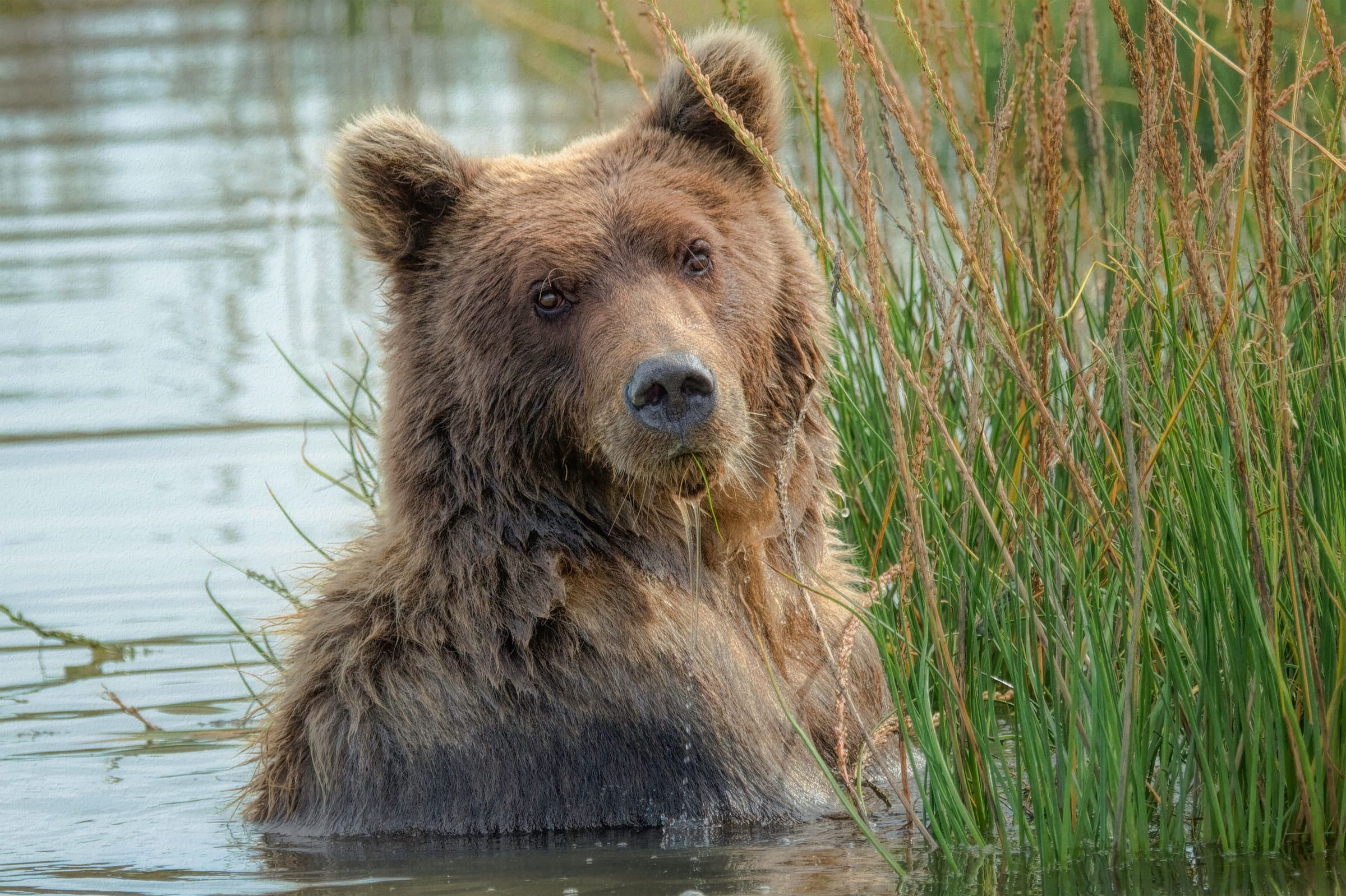 Un ours brun à Lake Clark Nationalpark