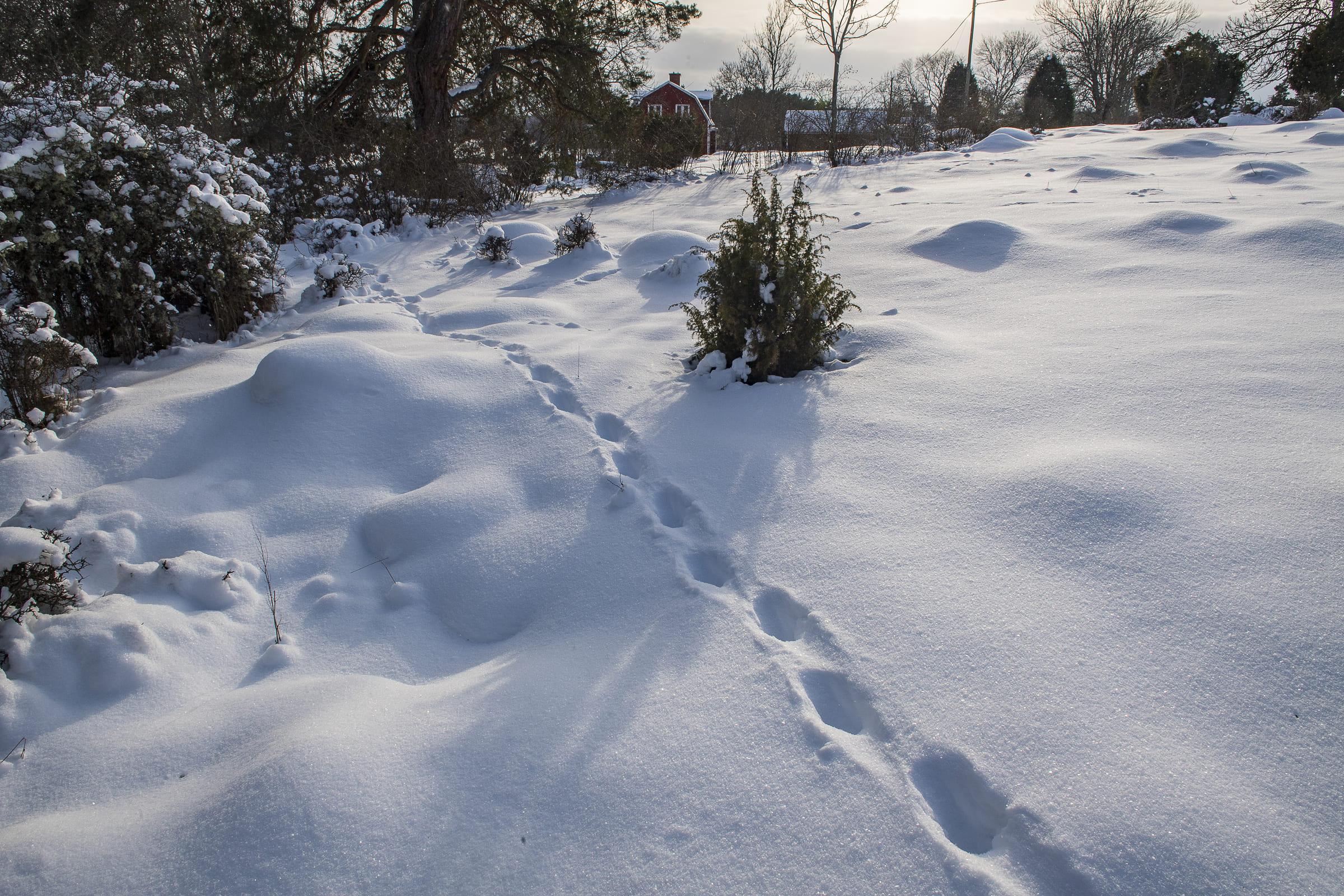 Luchsspur im Schnee