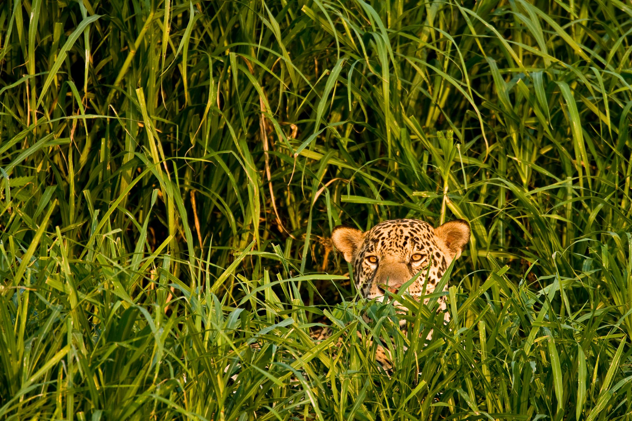 Un jaguar caché dans les herbes