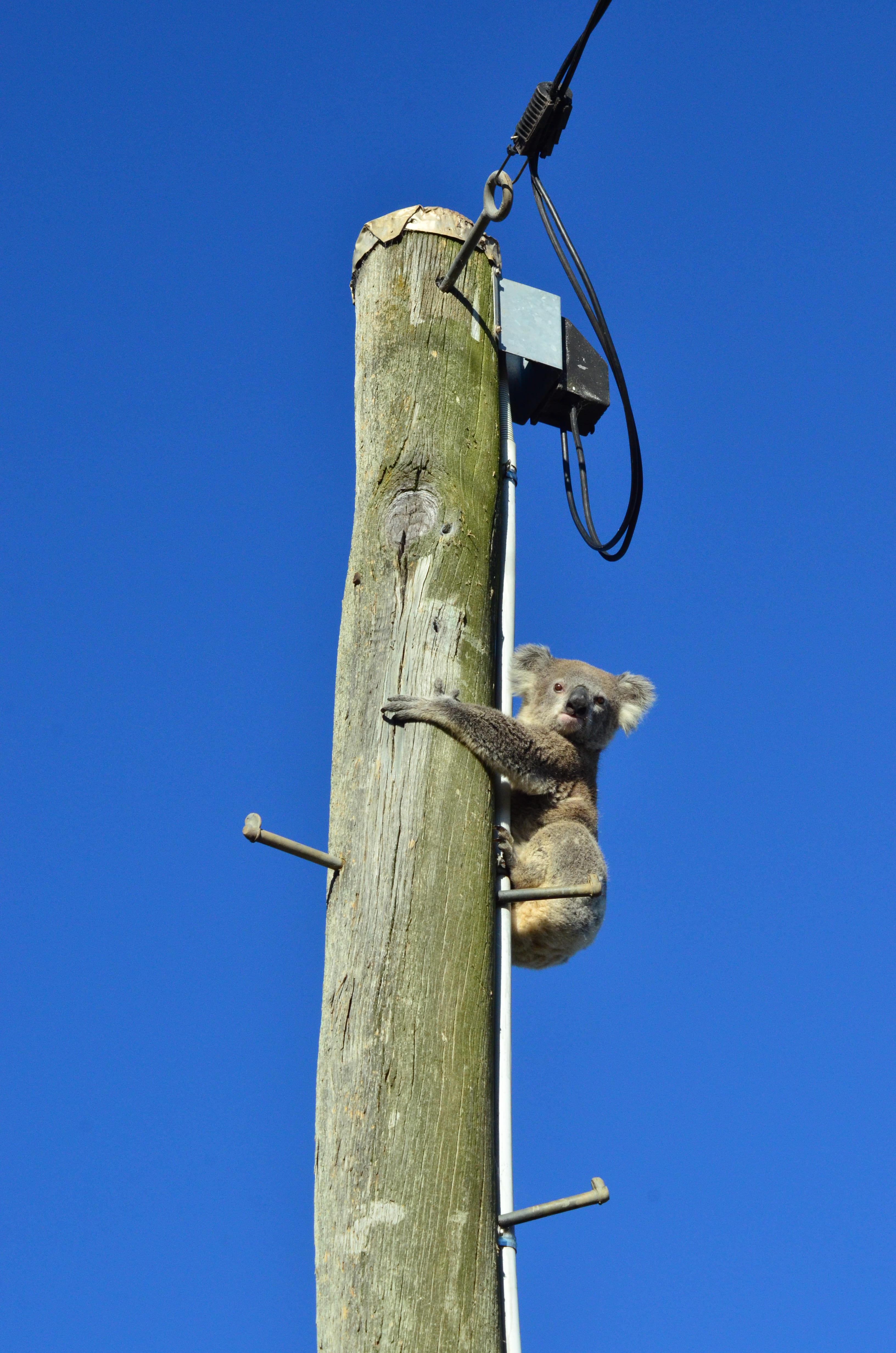 Un koala a grimpé sur un poteau électrique.