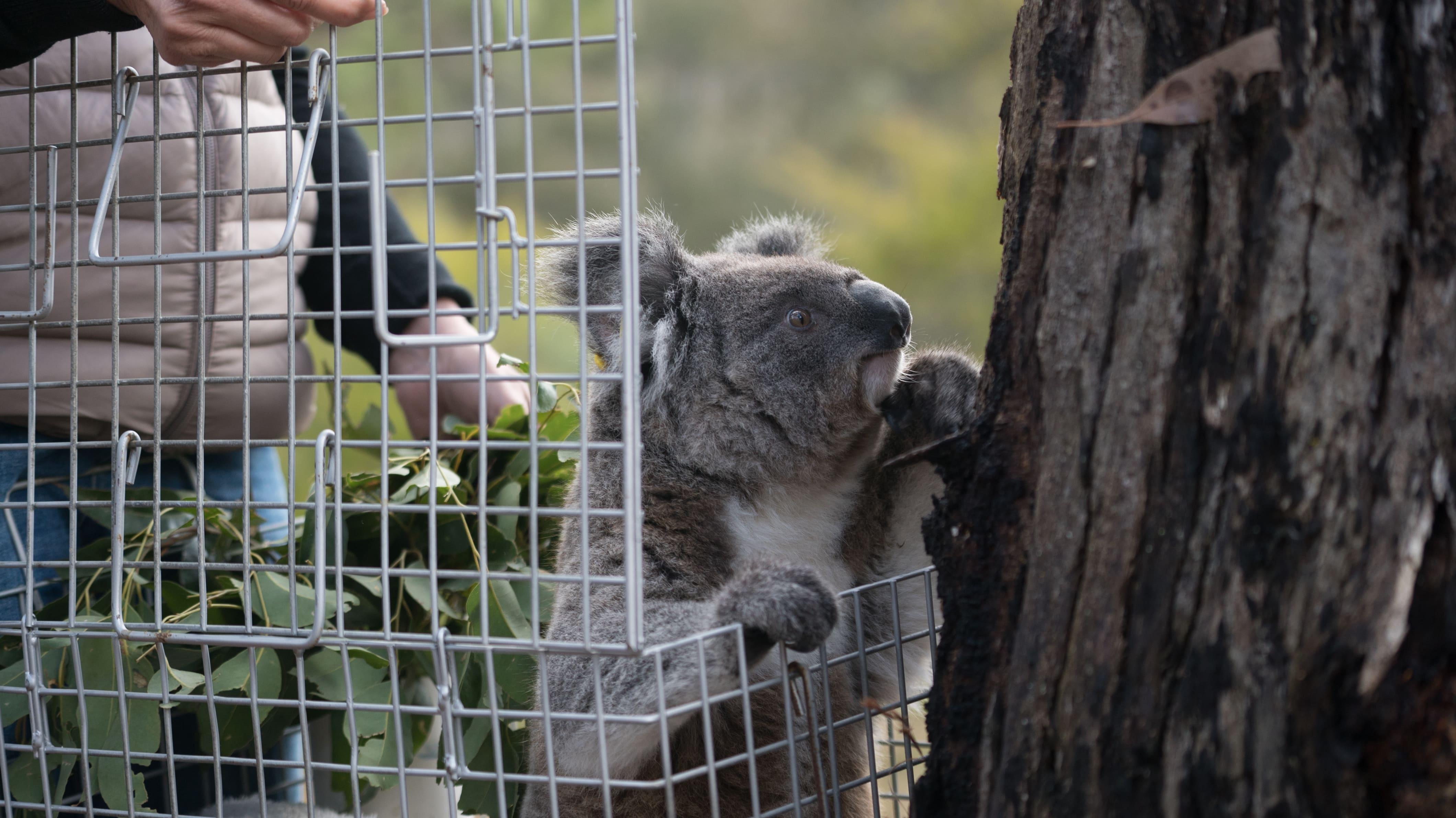Un jeune koala sauvé est relâché dans la nature.