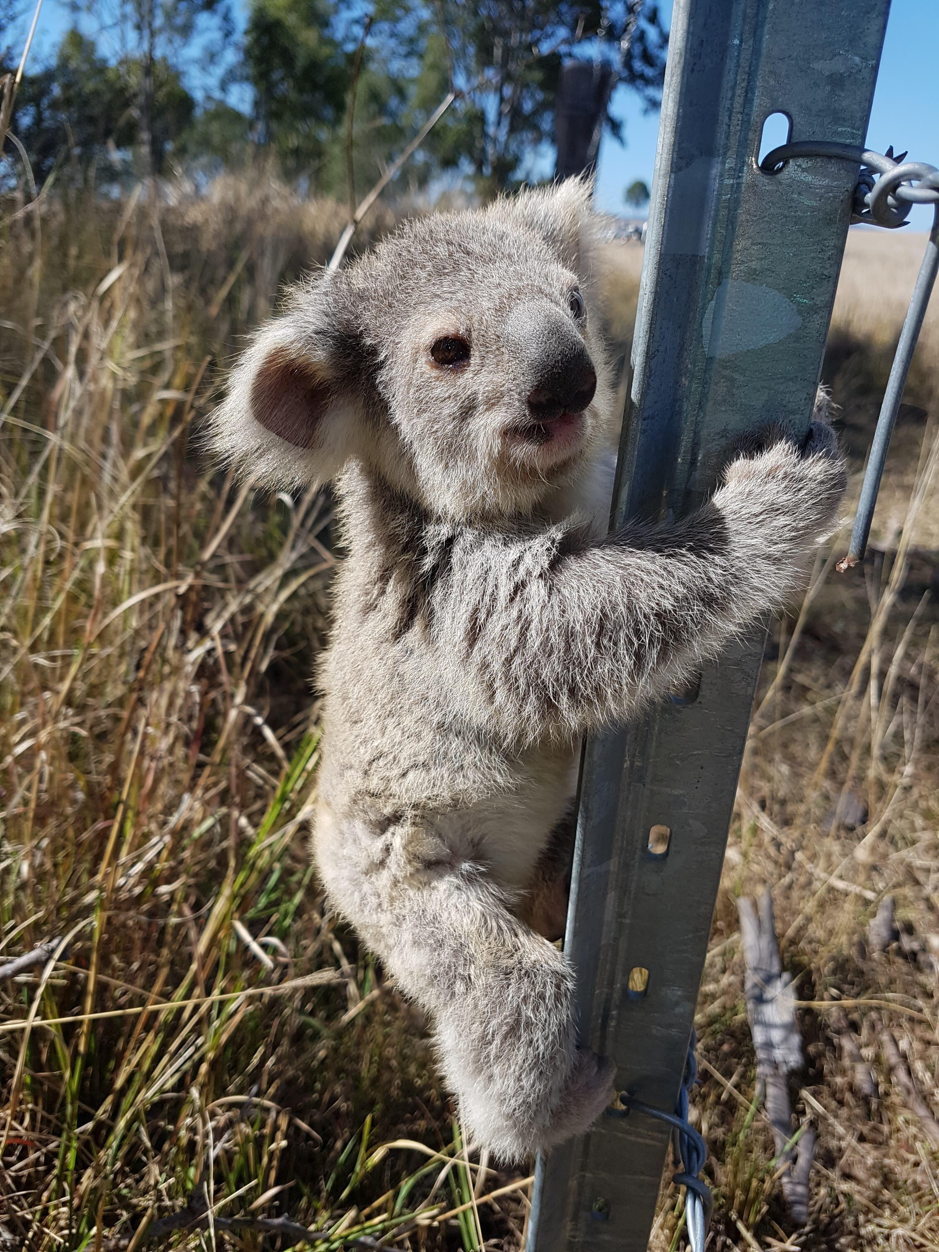 Un jeune koala s'est enfui vers un poteau de clôture.