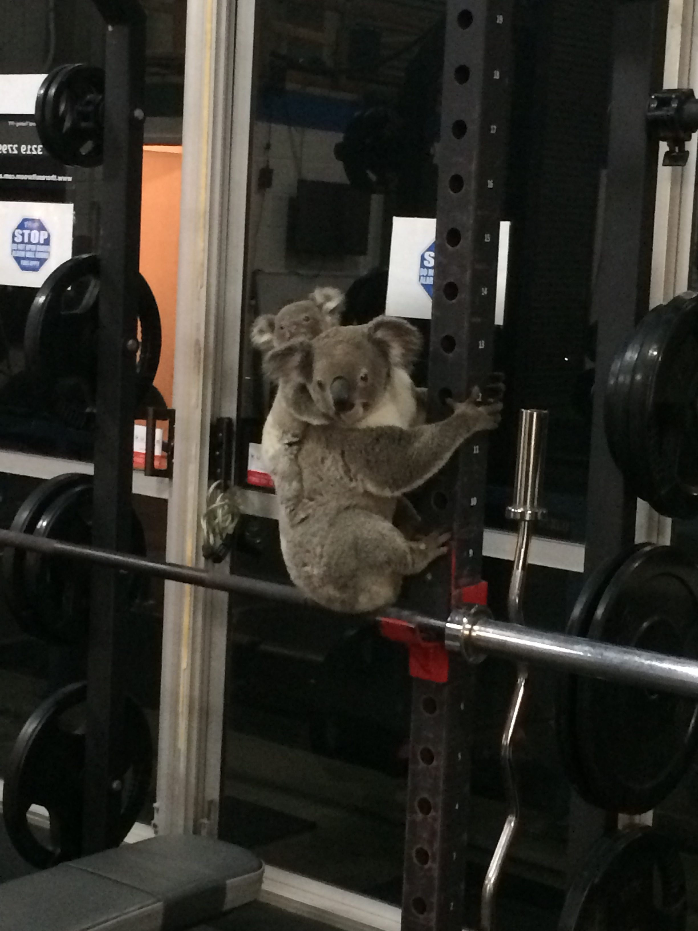 Lorsque les koalas perdent leurs arbres, ils errent souvent à la recherche de nouveaux habitats. Cette mère koala a atterri avec son petit dans une salle de gym.
