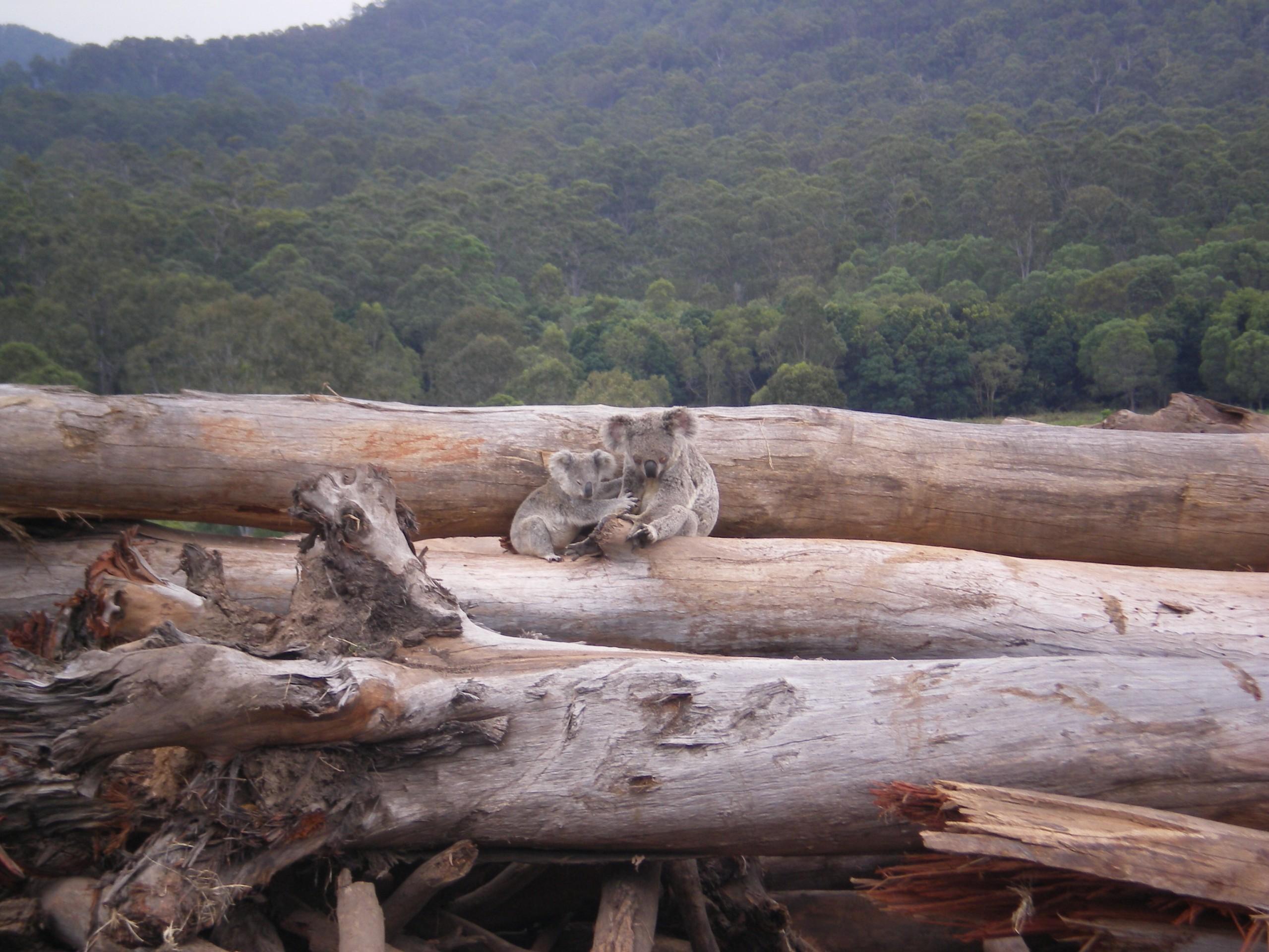 Une mère koala et ses petits se réfugient sur des arbres abattus par des bulldozers.