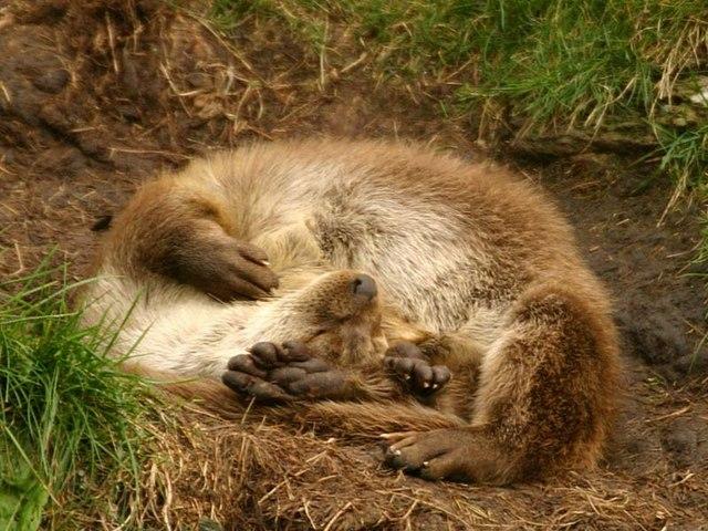 Una lontra addormentata