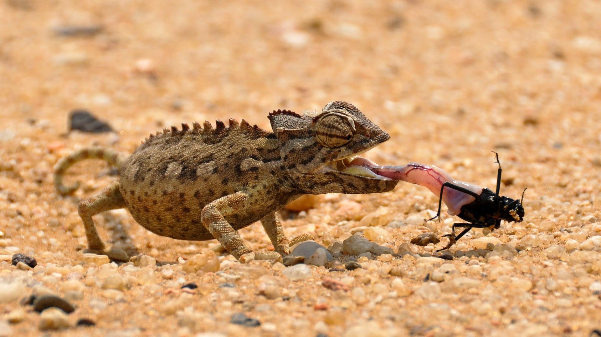 Ein Chamäleon fängt einen Käfer.