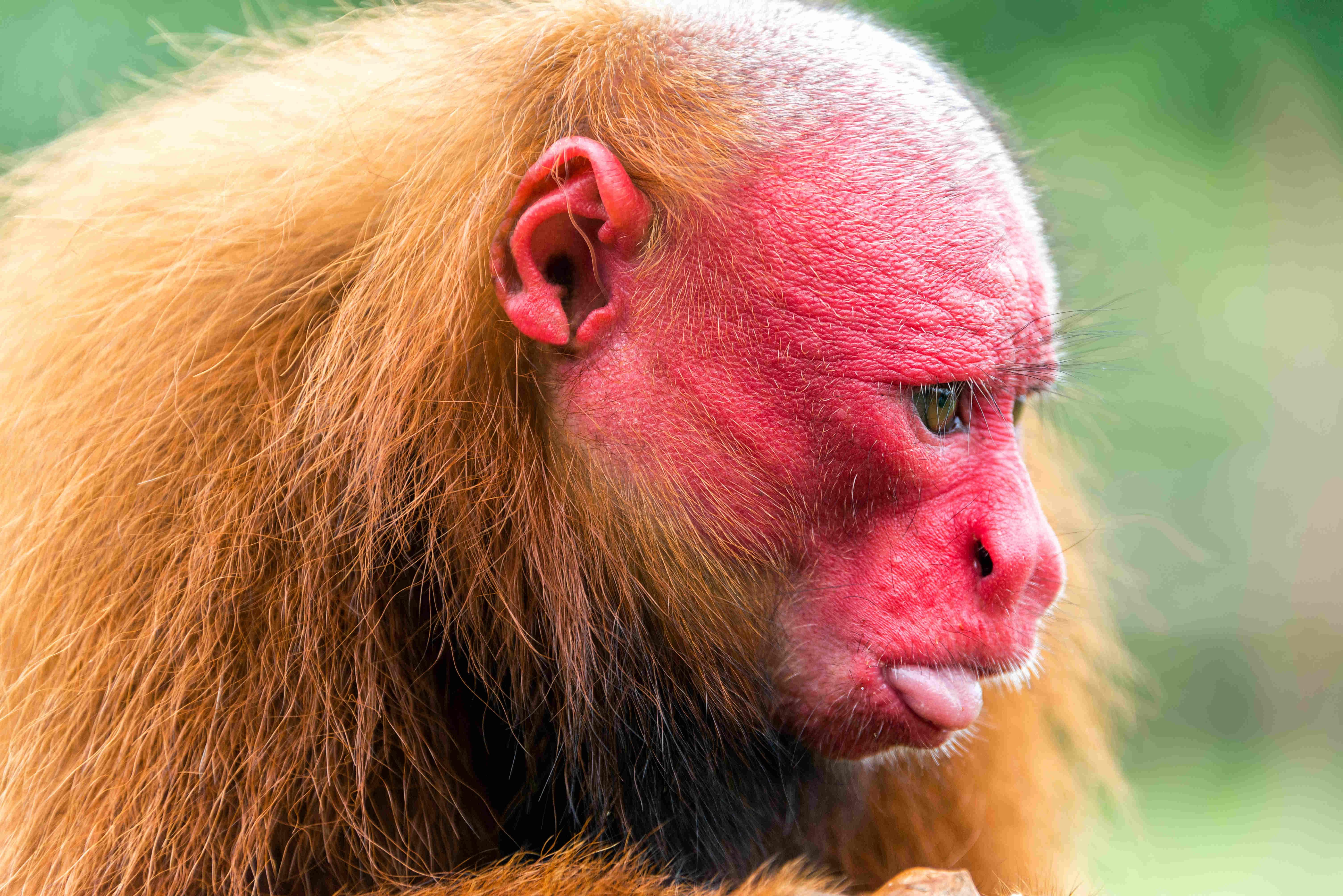 Roter Uakari Kopf