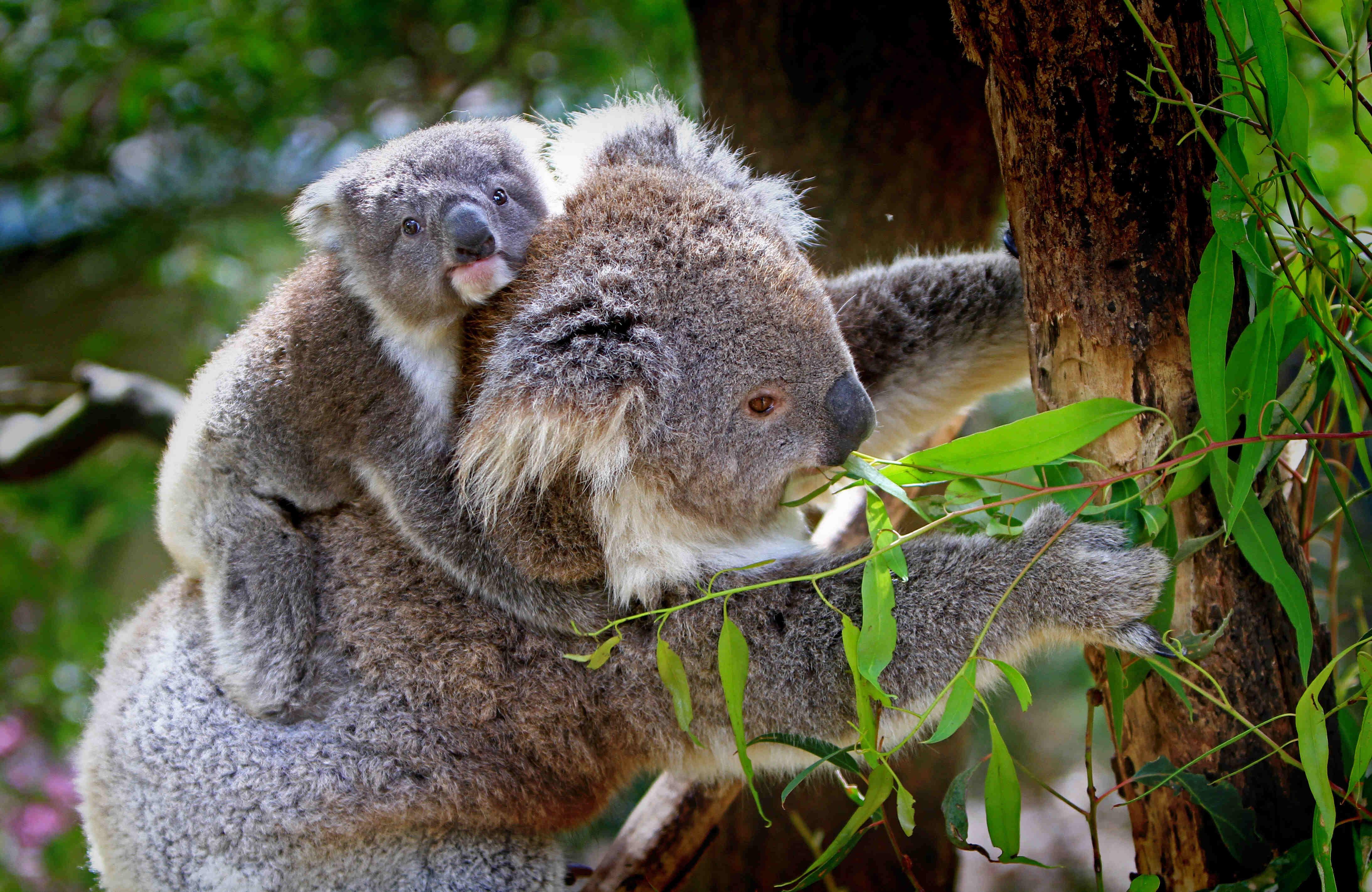 Koalamutter mit Jungem