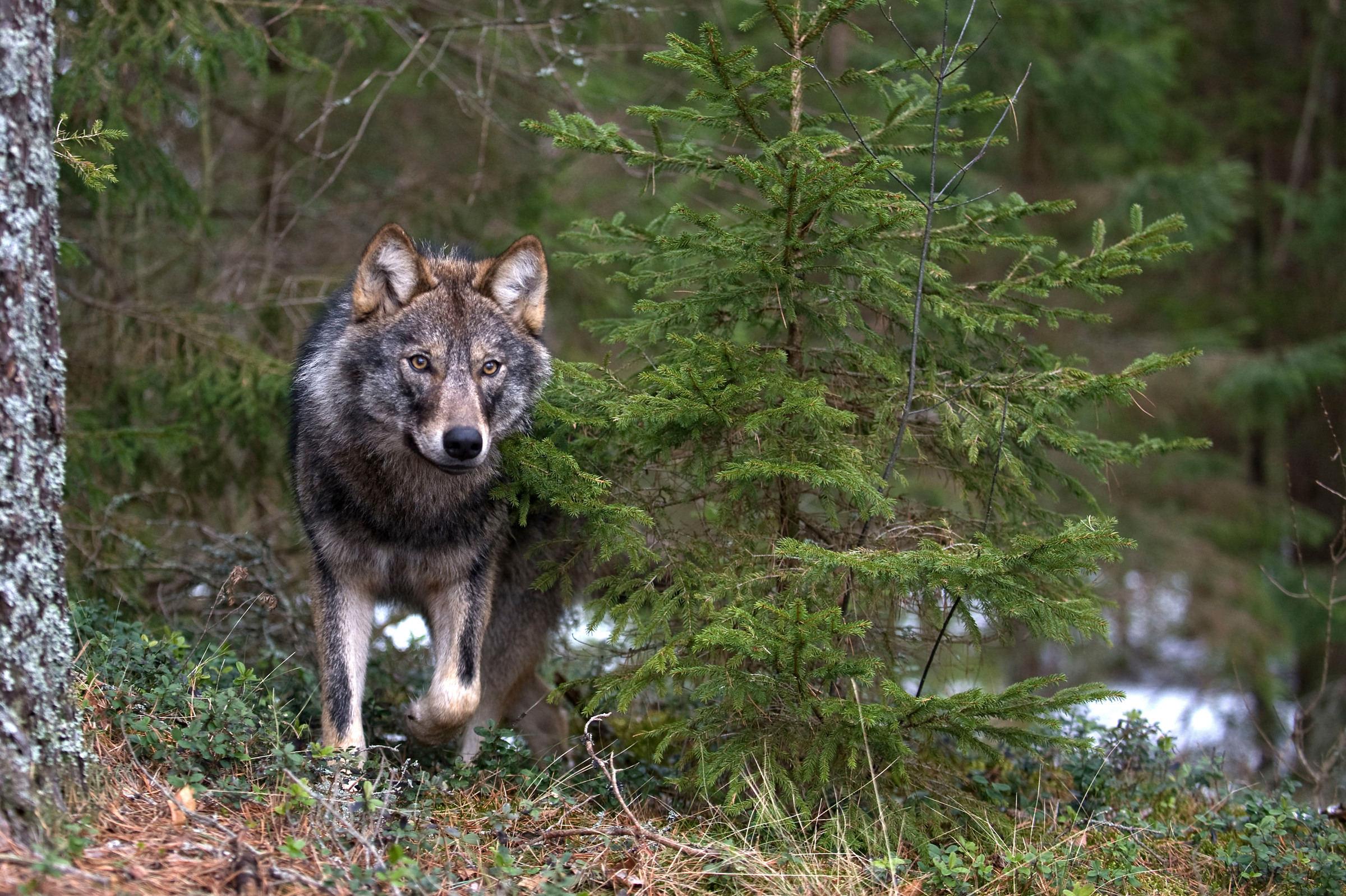 Grauer Wolf in Russland