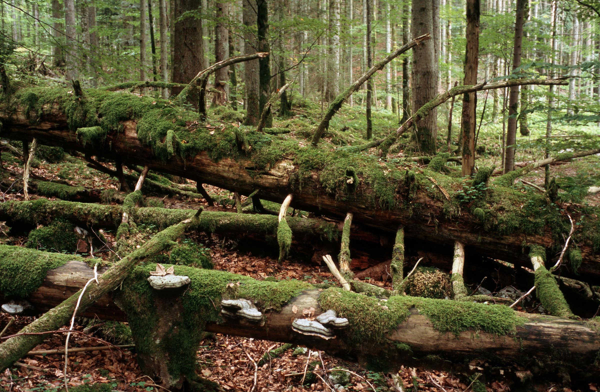 Totholz ist für viele Tiere wichtig zum Überleben.