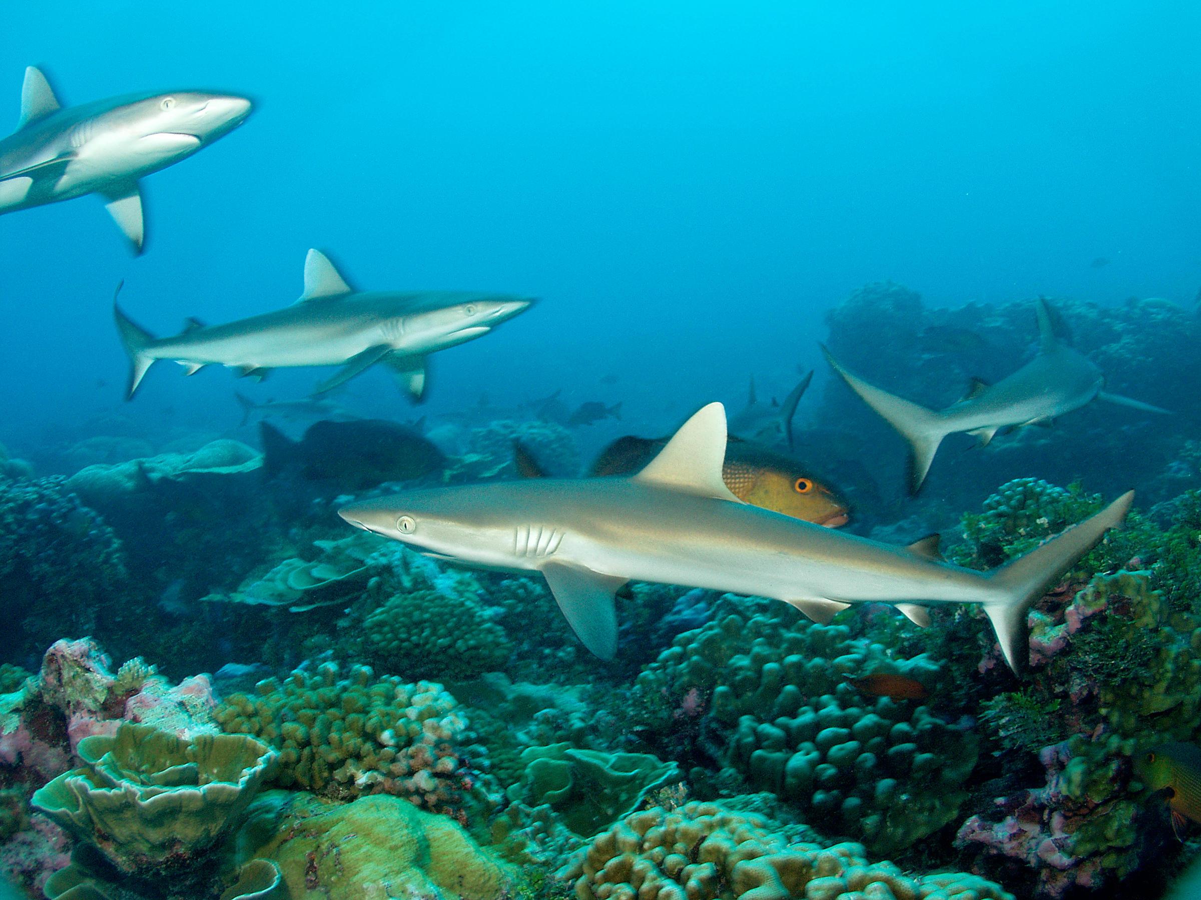 Junge Graue Riffhaie