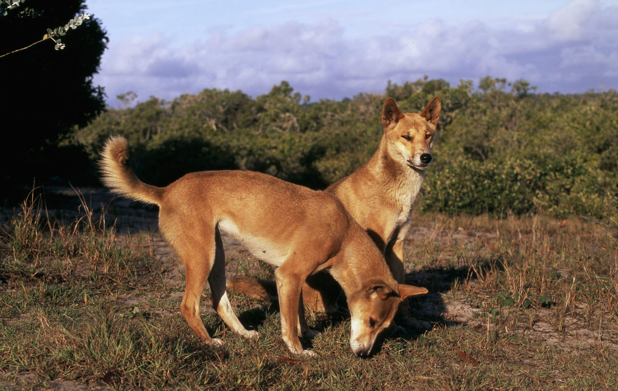Dingos in Australien