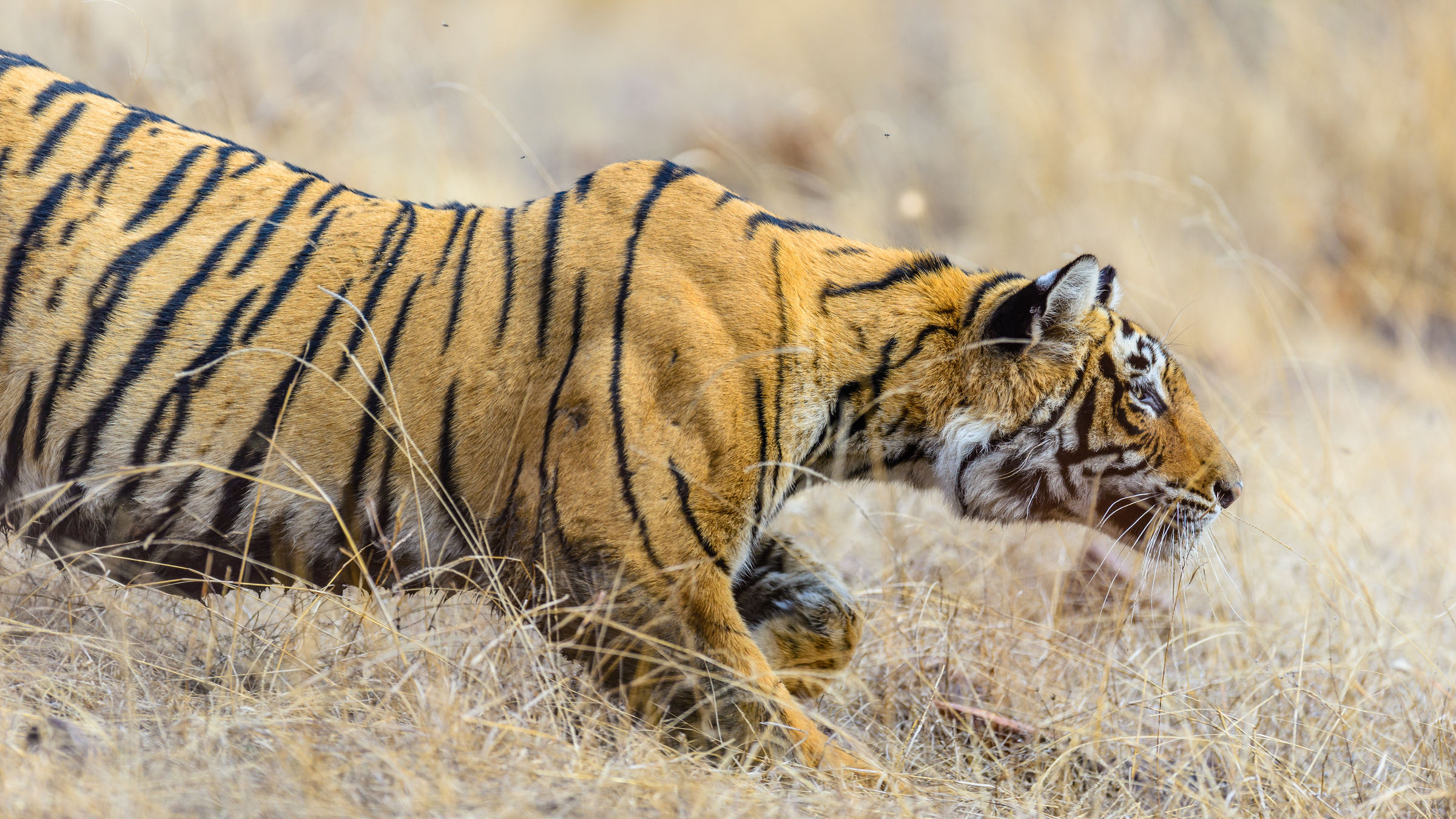 Bengaltiger beim Jagen