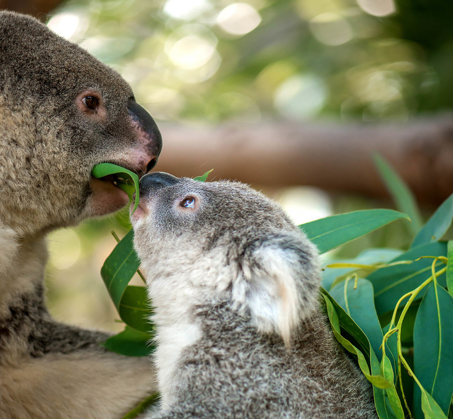 Mamma e cucciolo di koala mangiano foglie di eucalipto.
