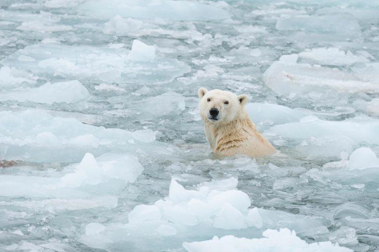 Orso polare nel ghiaccio
