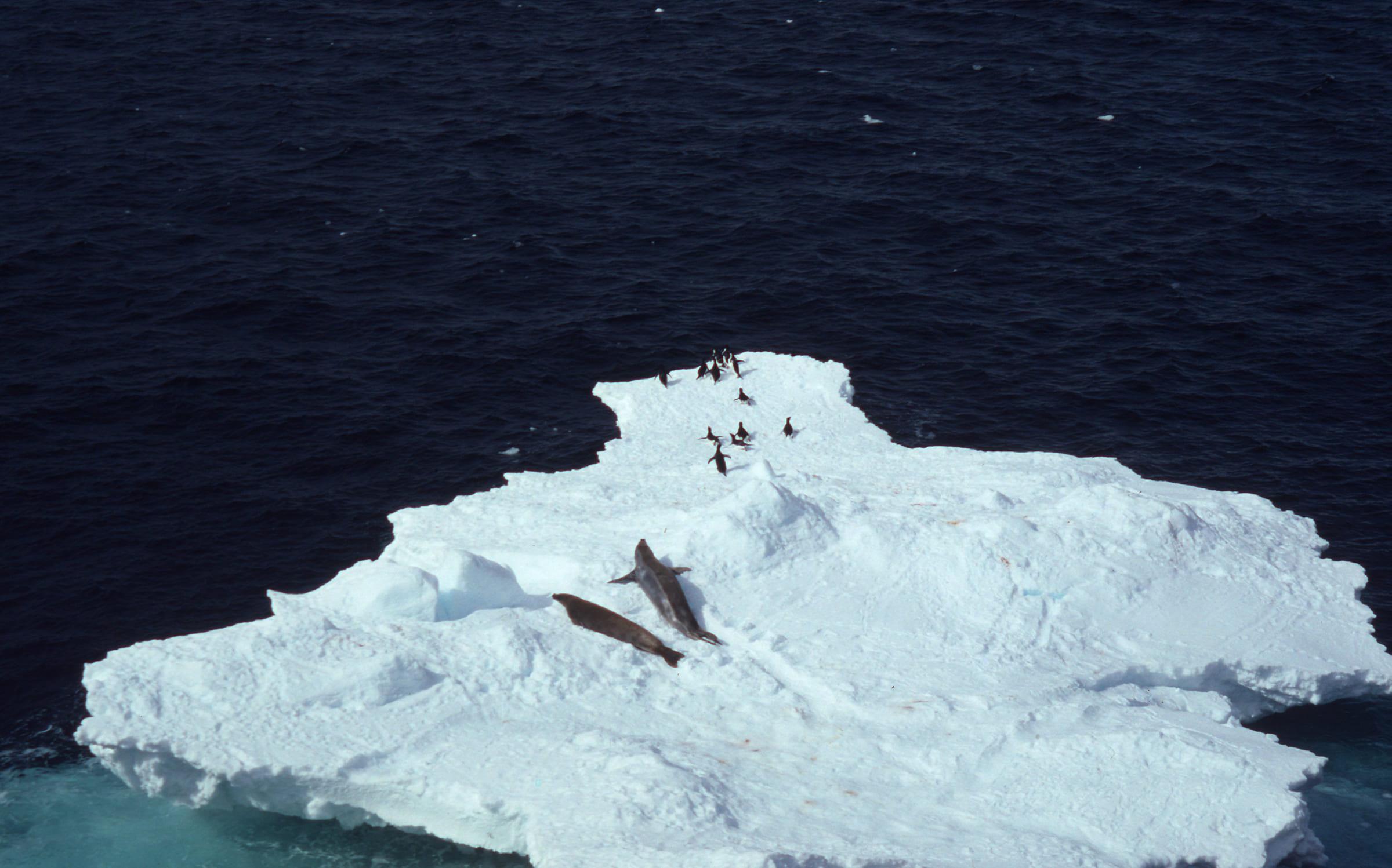 Adeliepinguine auf Eisscholle