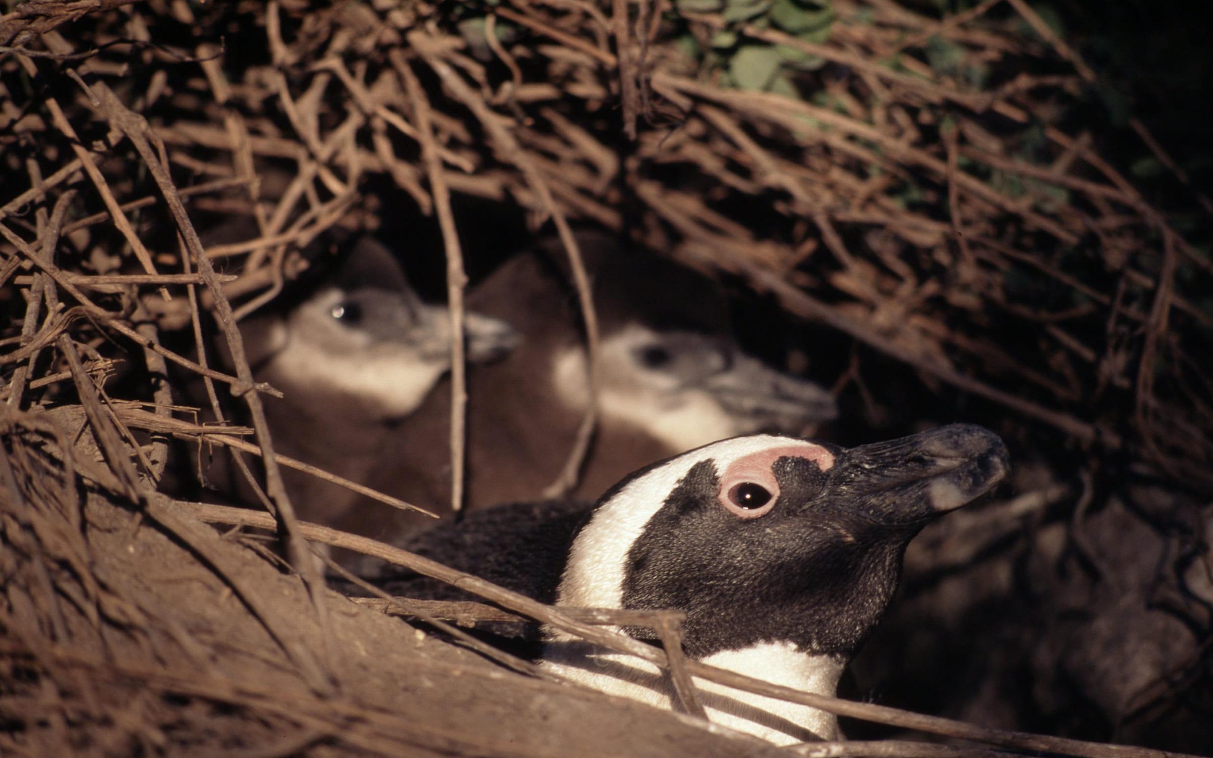 Brillenpinguin im Nest