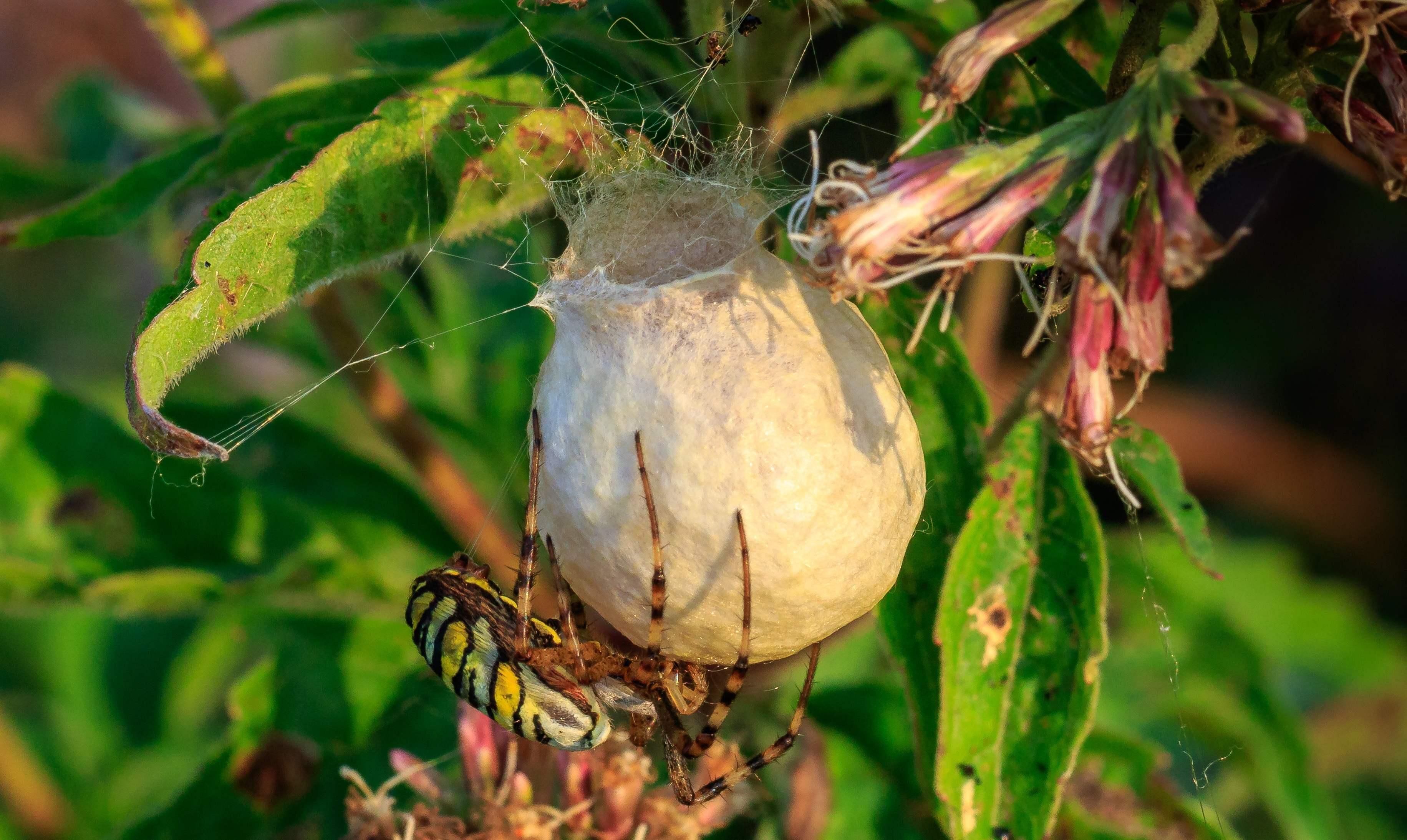 Une araignée et son cocon.