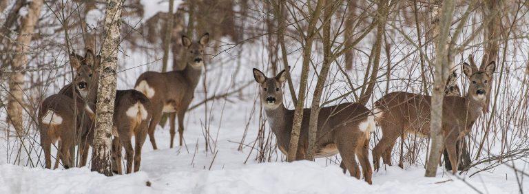 Un gruppetto di caprioli nel bosco innevato