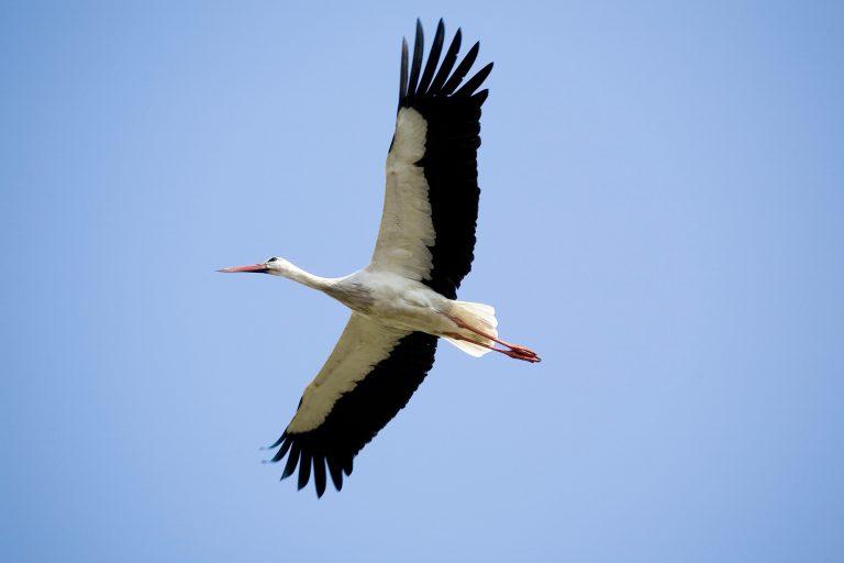 Cicogna bianca in volo