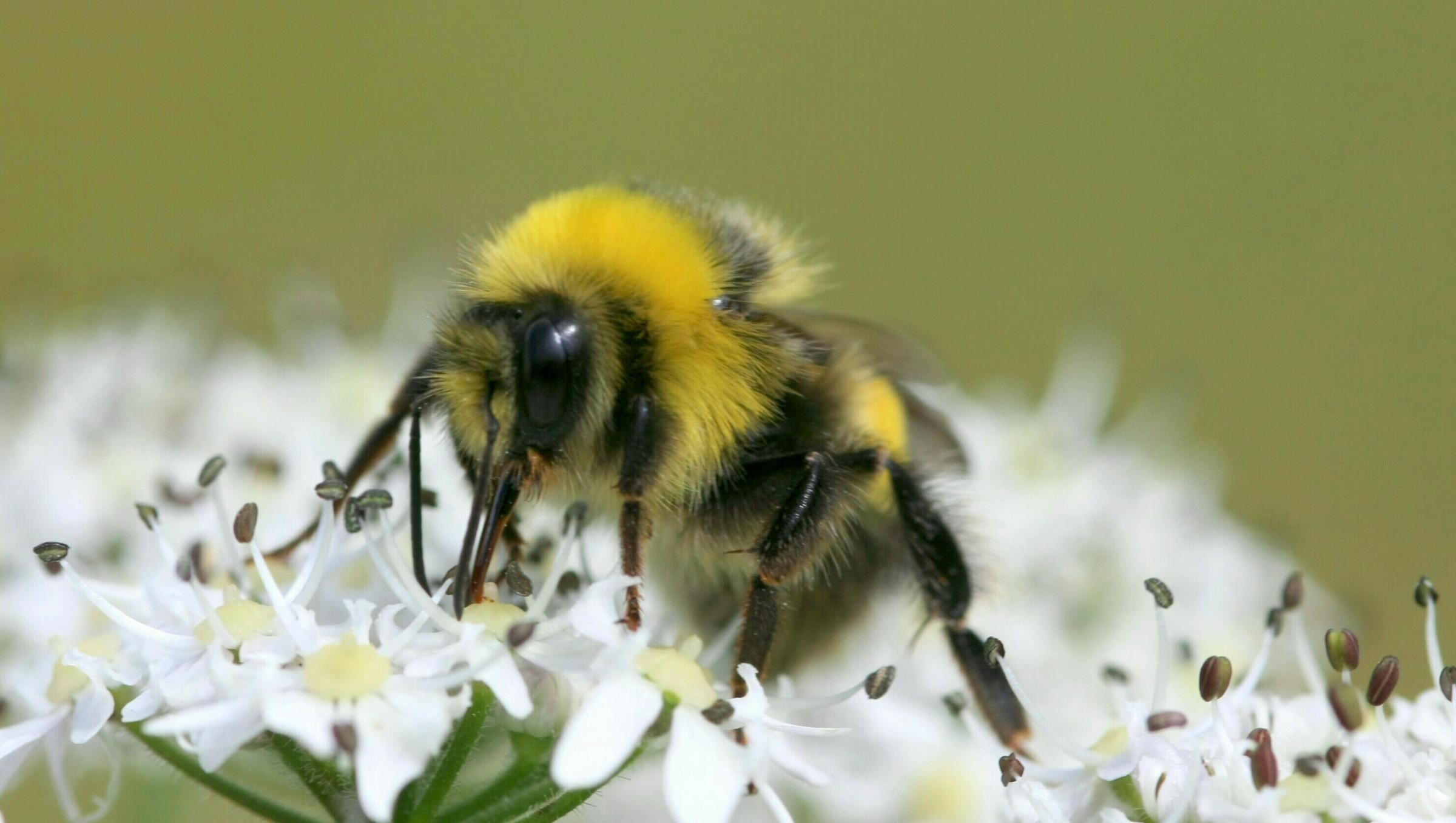 Un bourdon récolte le nectar d'une fleur