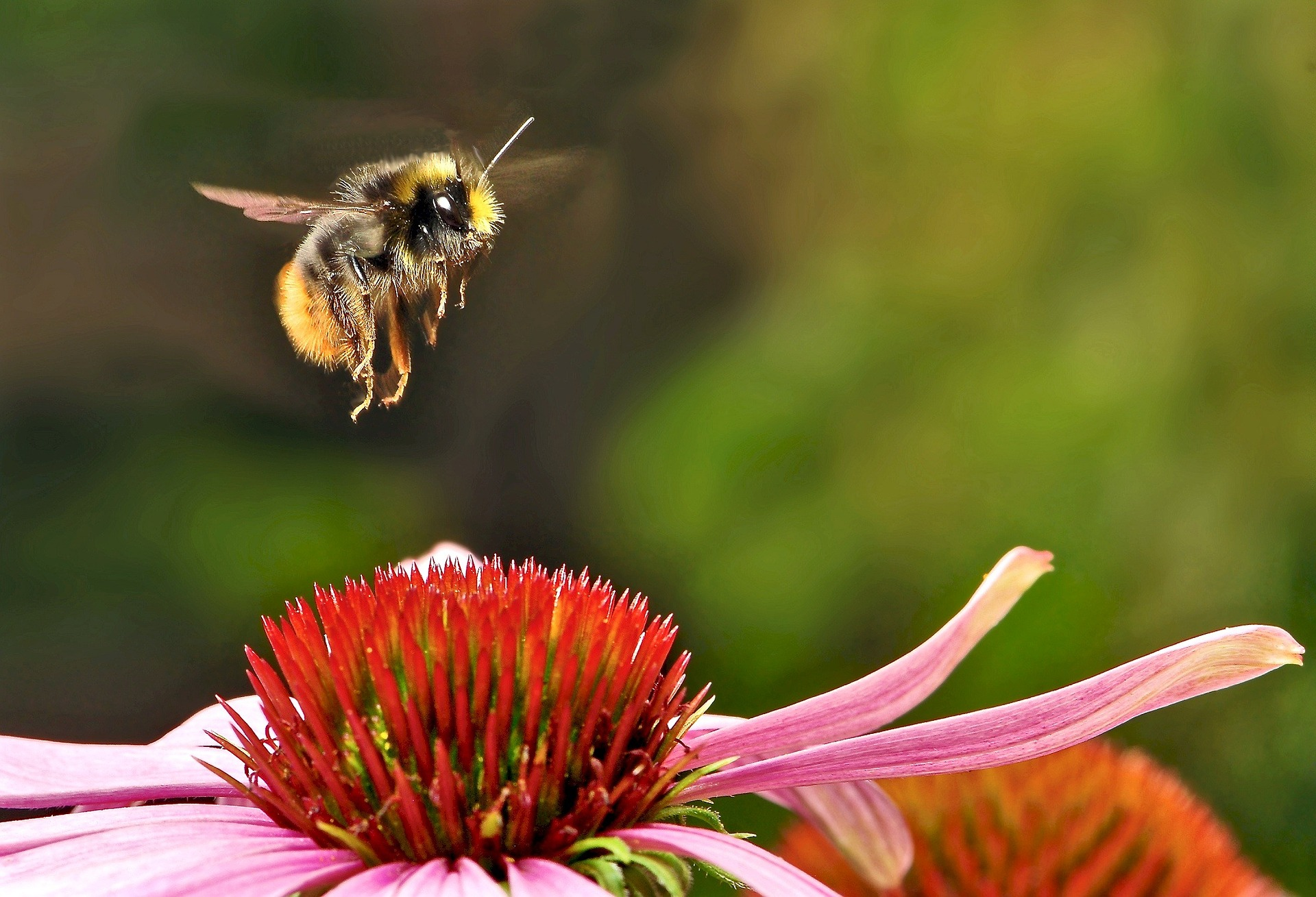 Eine Hummel fliegt eine Blüte an.