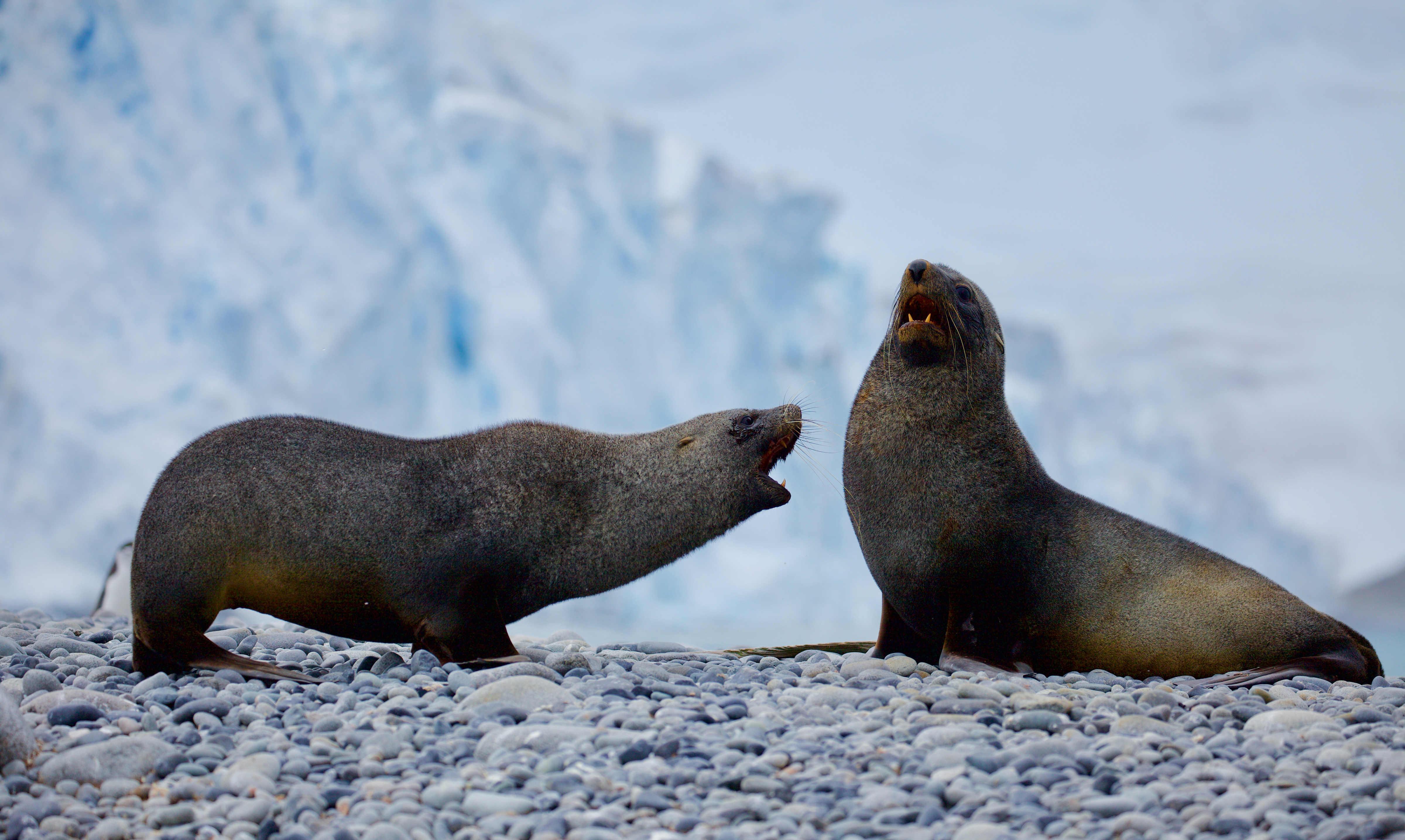 Antarktische Seebären
